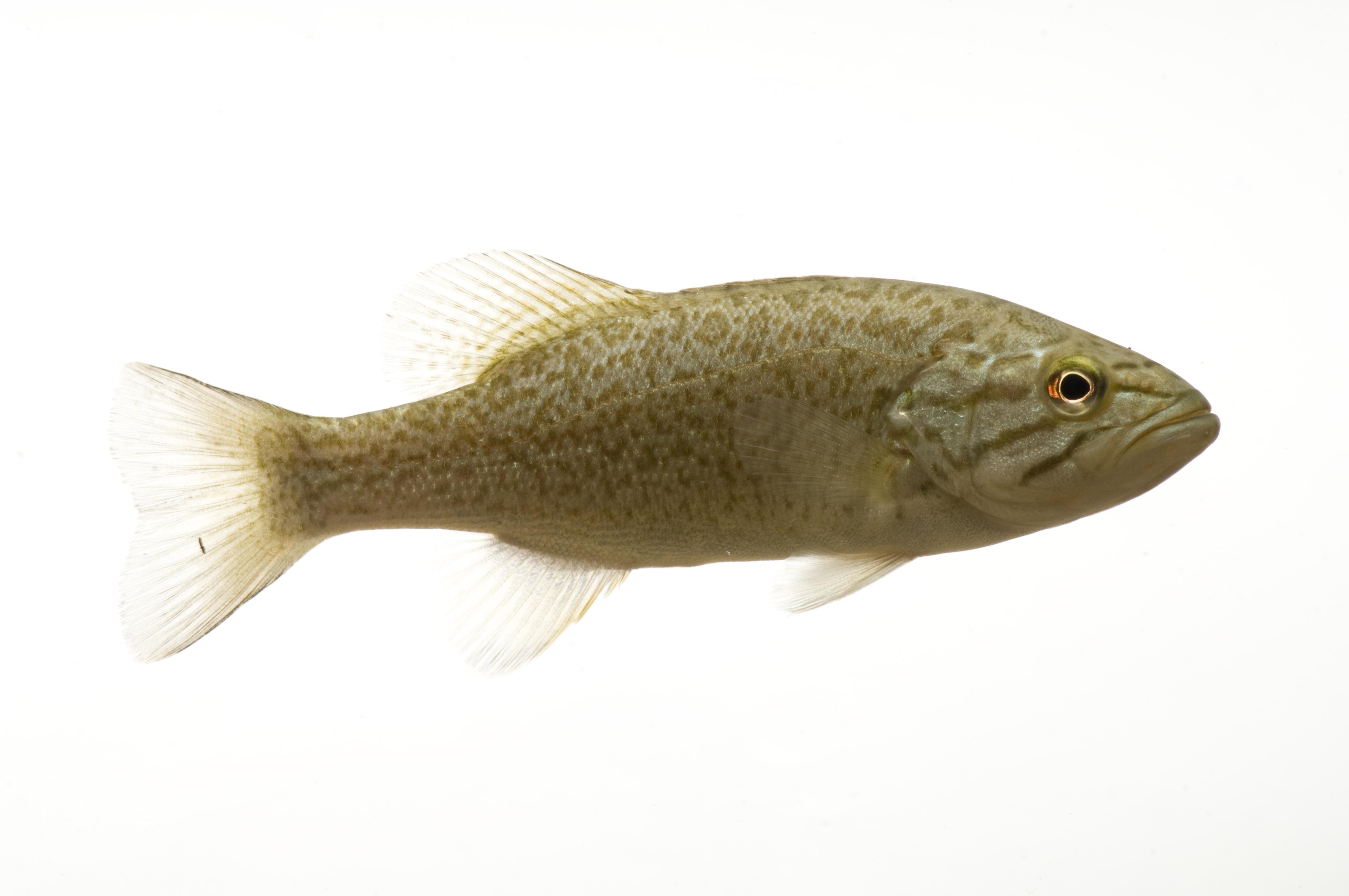 A smallmouth bass fish, Genoa, Wisconsin .