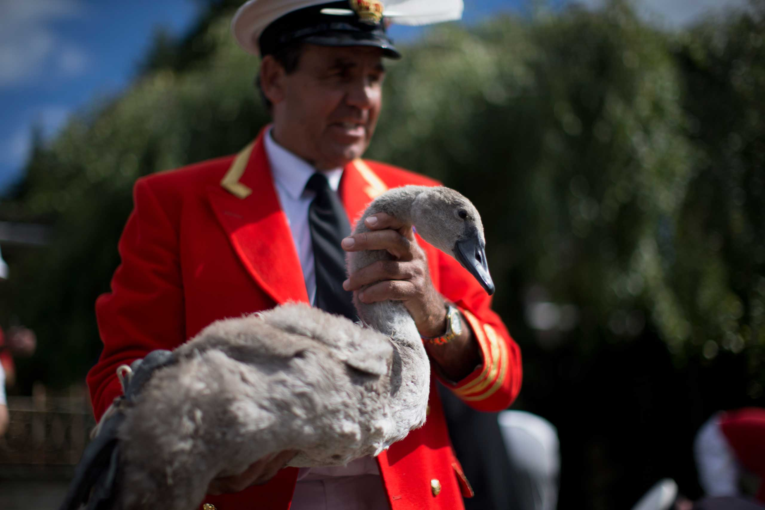 The Queen's Swan Marker David Barber holds a cygnet before releasing it back into the River Thames, after it was counted and checked during the annual  Swan Upping  census in  July 2014.