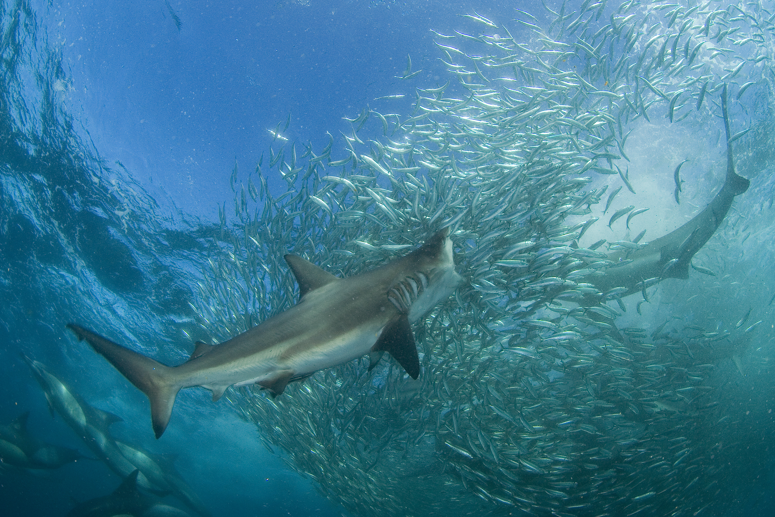 Bronze Whaler sharks are the most abundant sharks during the sardine run off South Africa's east coast every June/July. Hundreds of them patrol the margins of baitballs and charge into the seething mass of fish singly or in small groups to feed.