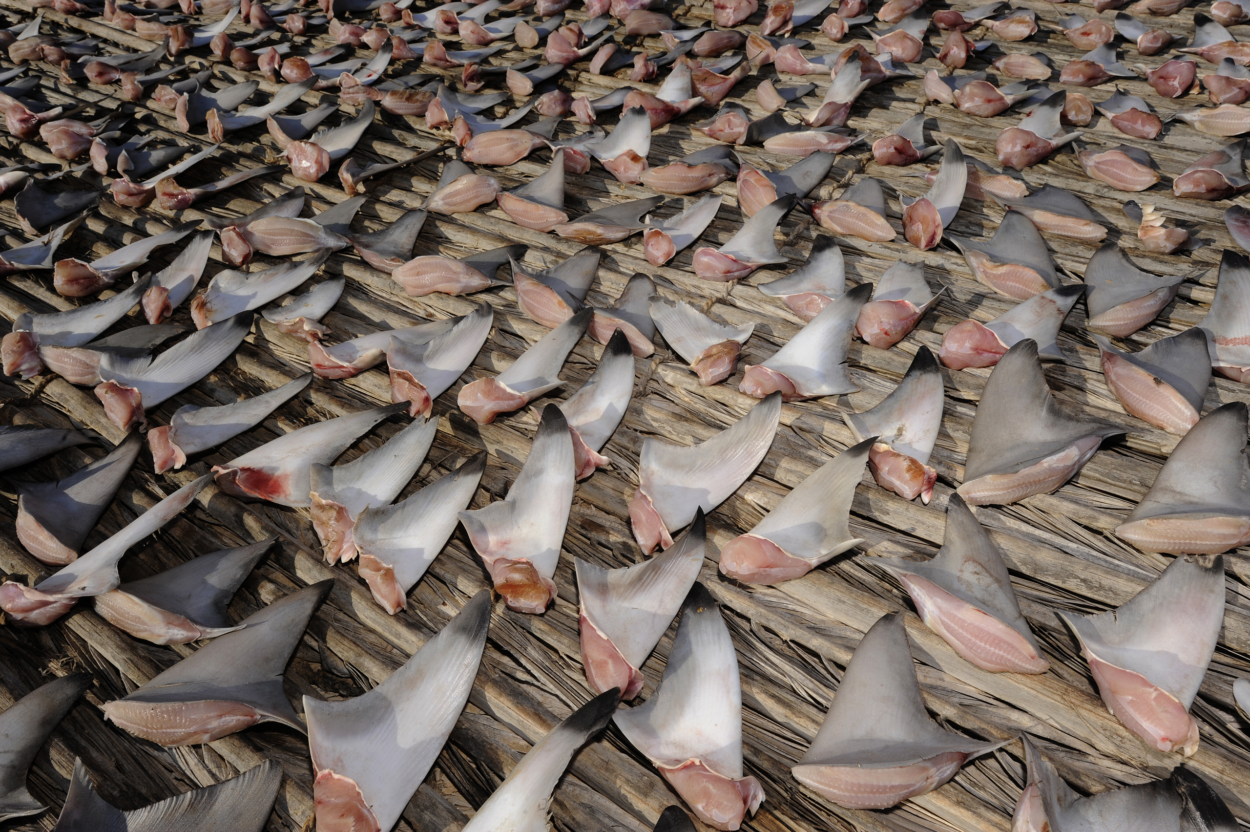 Shark fins are the key ingredient of shark fin a soup, a dish frequenlty consumed at weddings and banquets in China. It is primarily served to demonstrate wealth and honor guests.