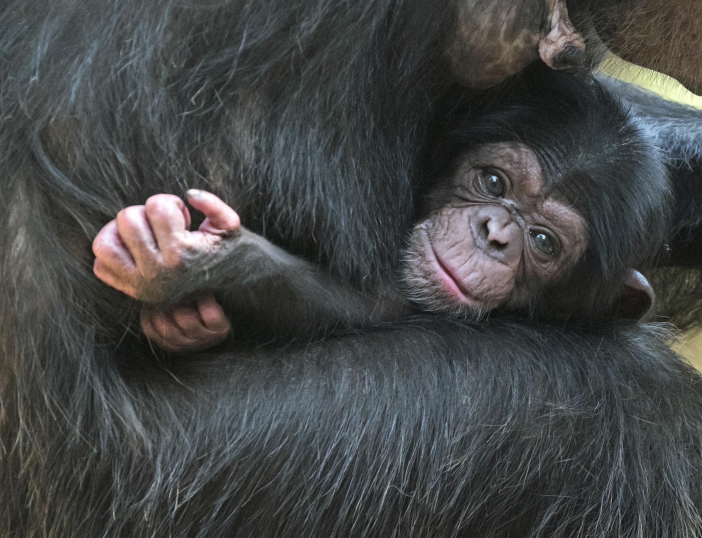 A baby chimpanzee relaxes on its mother Swela at the Leipzig Zoo in Leipzig, central Germany, April 23, 2015.