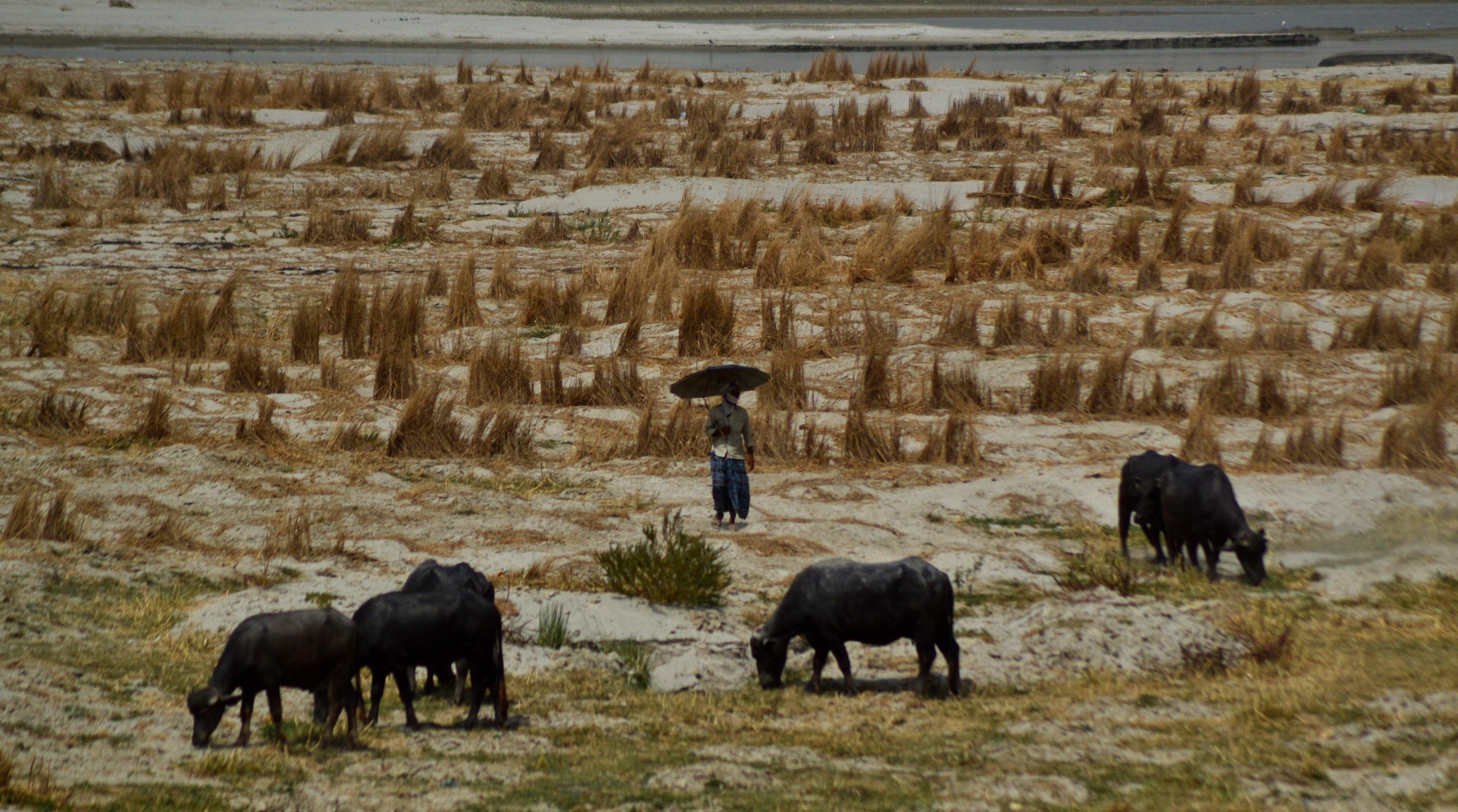An indian man walks on River bed side of River Ganges as he feeds his buffaloes during a hot day in Allahabad on June 1,2015.