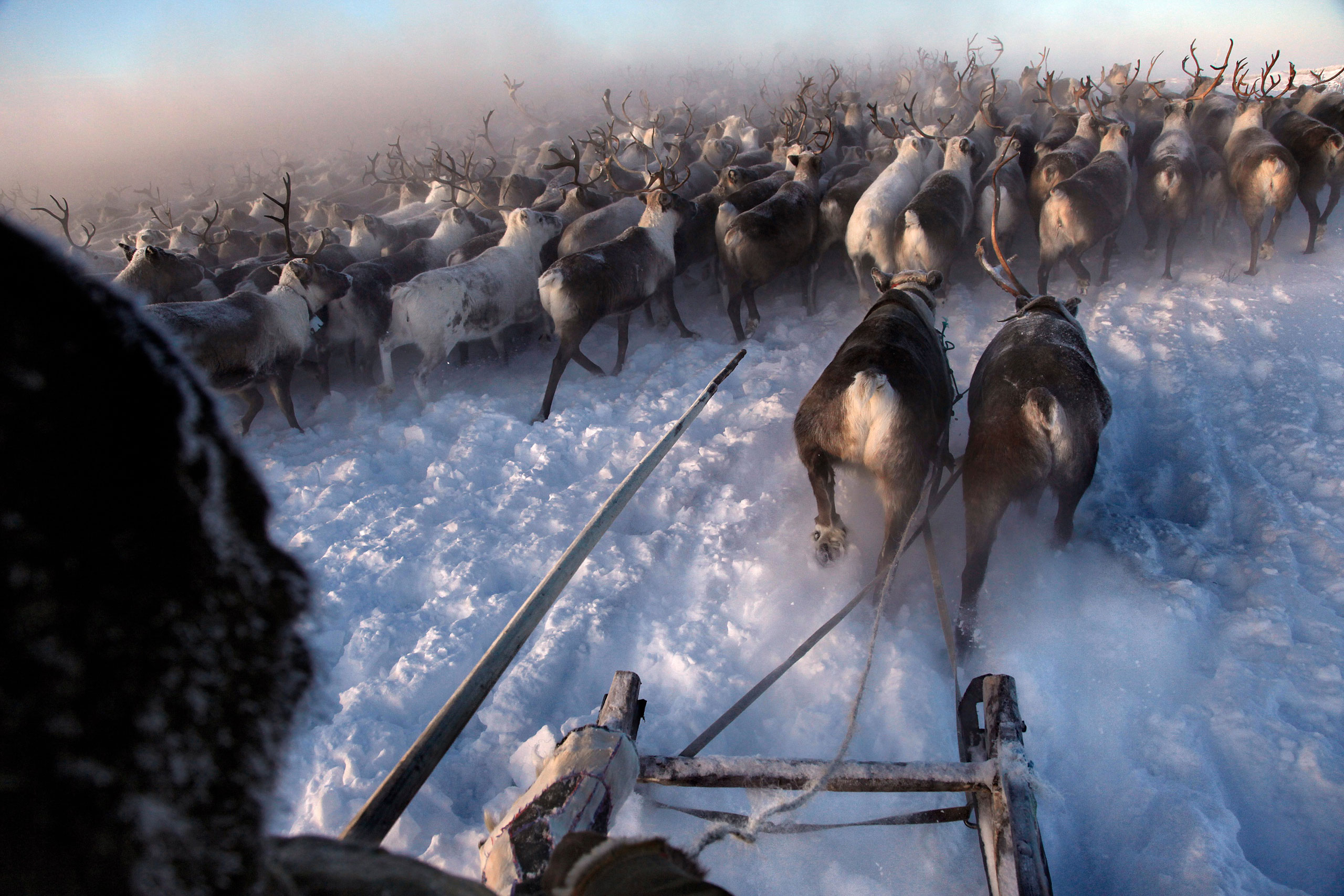 Nenets, native people of the Russian Arctic region, herd reindeer in -40C (-40F). The herders sell reindeer meat to sausage factories and antlers to China for use as traditional medicine, February 2011.
