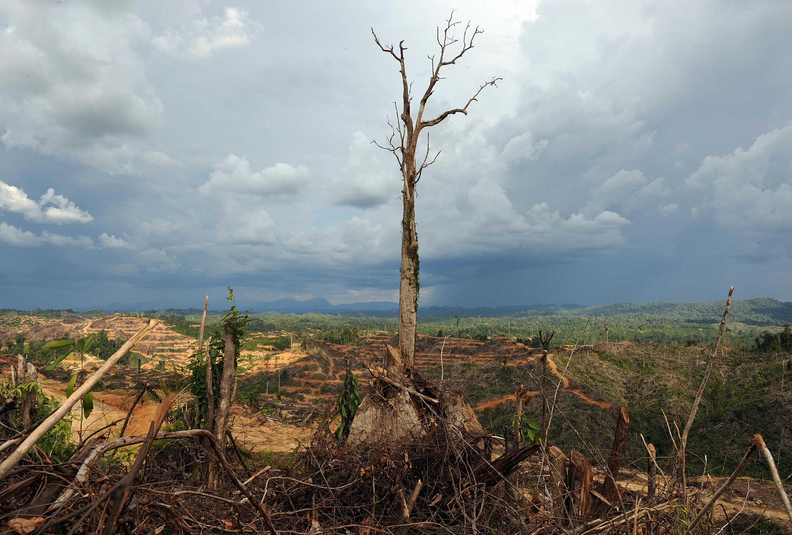 A tree stands alone in a logged area prepared for palm oil plantation near Lapok in Malaysia's Sarawak State in 2009.