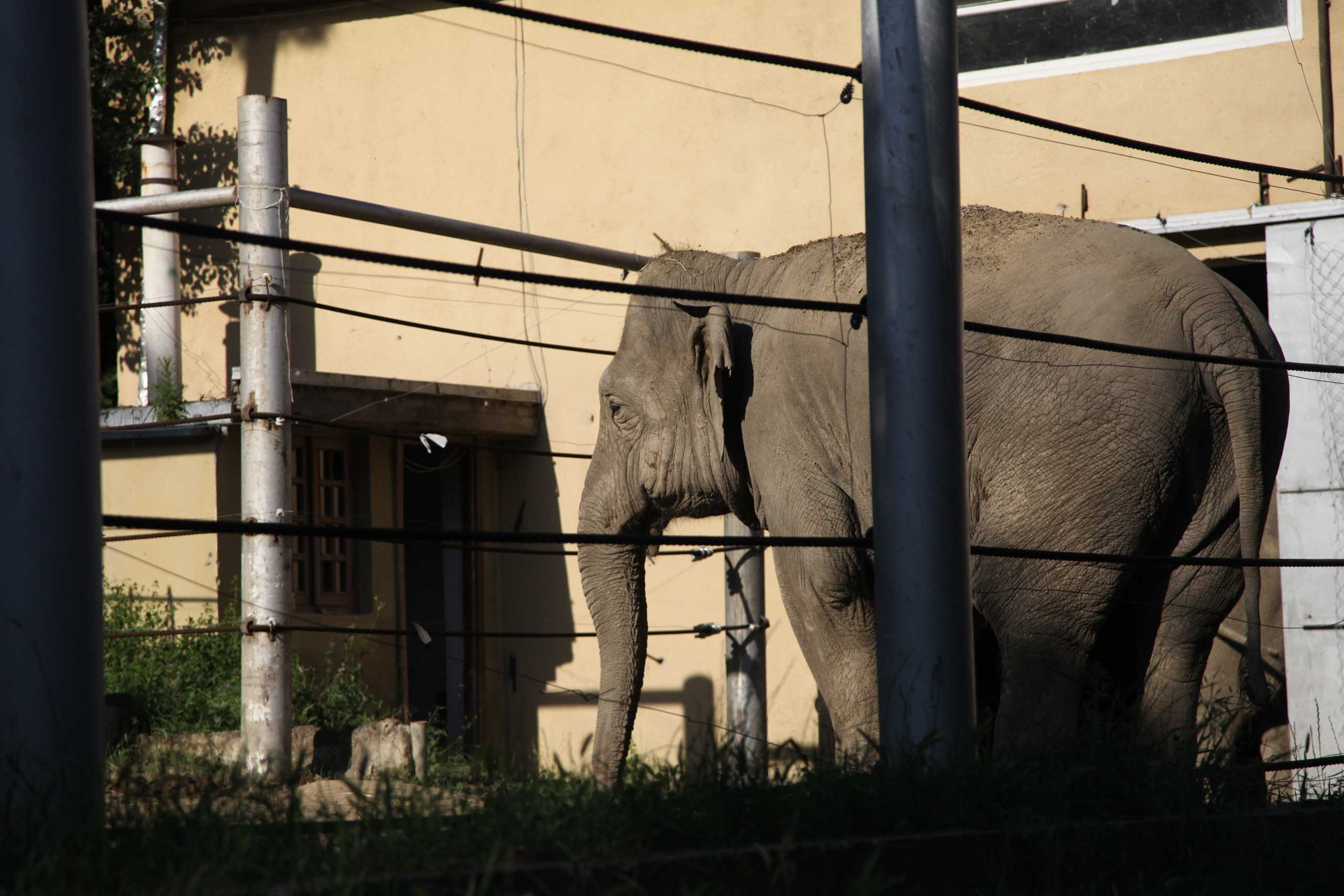 An elephant that escaped from a flooded zoo stands behind bars inside the zoo in Tbilisi, Georgia on June 14, 2015.