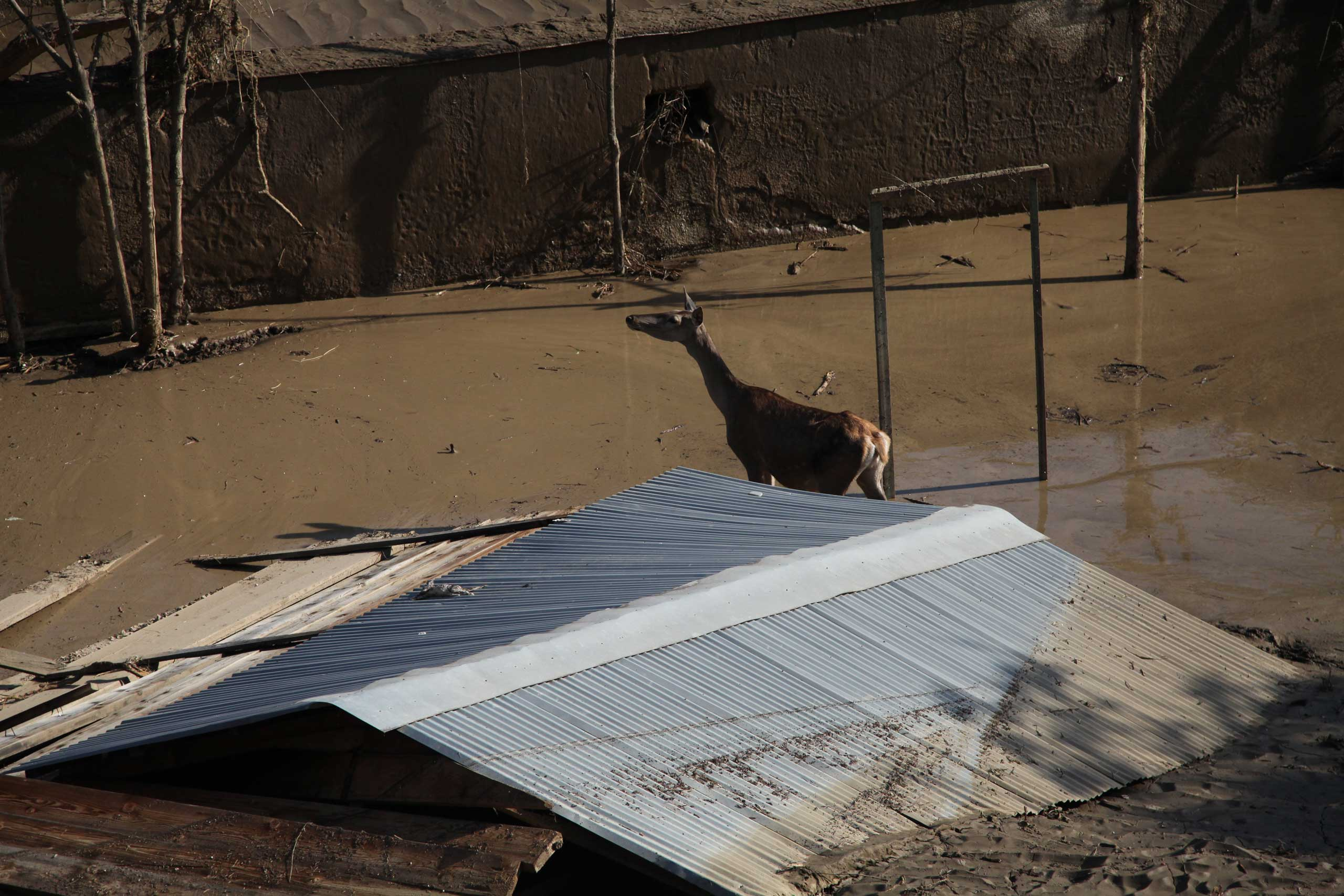 An animal escaped from a flooded zoo stands in mud in Tbilisi, Georgia on June 14, 2015.