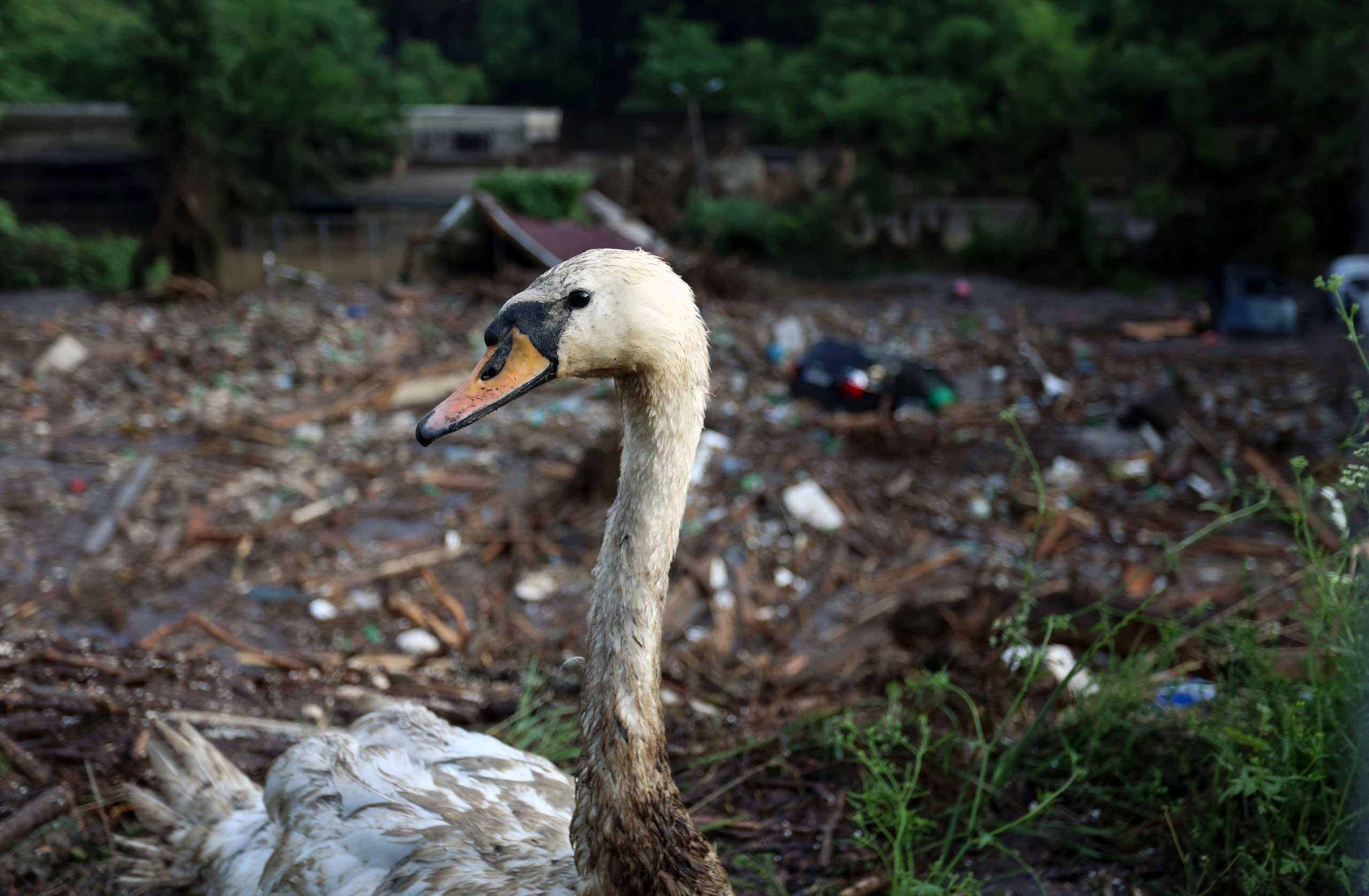 A wounded swan is seen at a flooded zoo area in Tbilisi, Georgia on June 14, 2015.