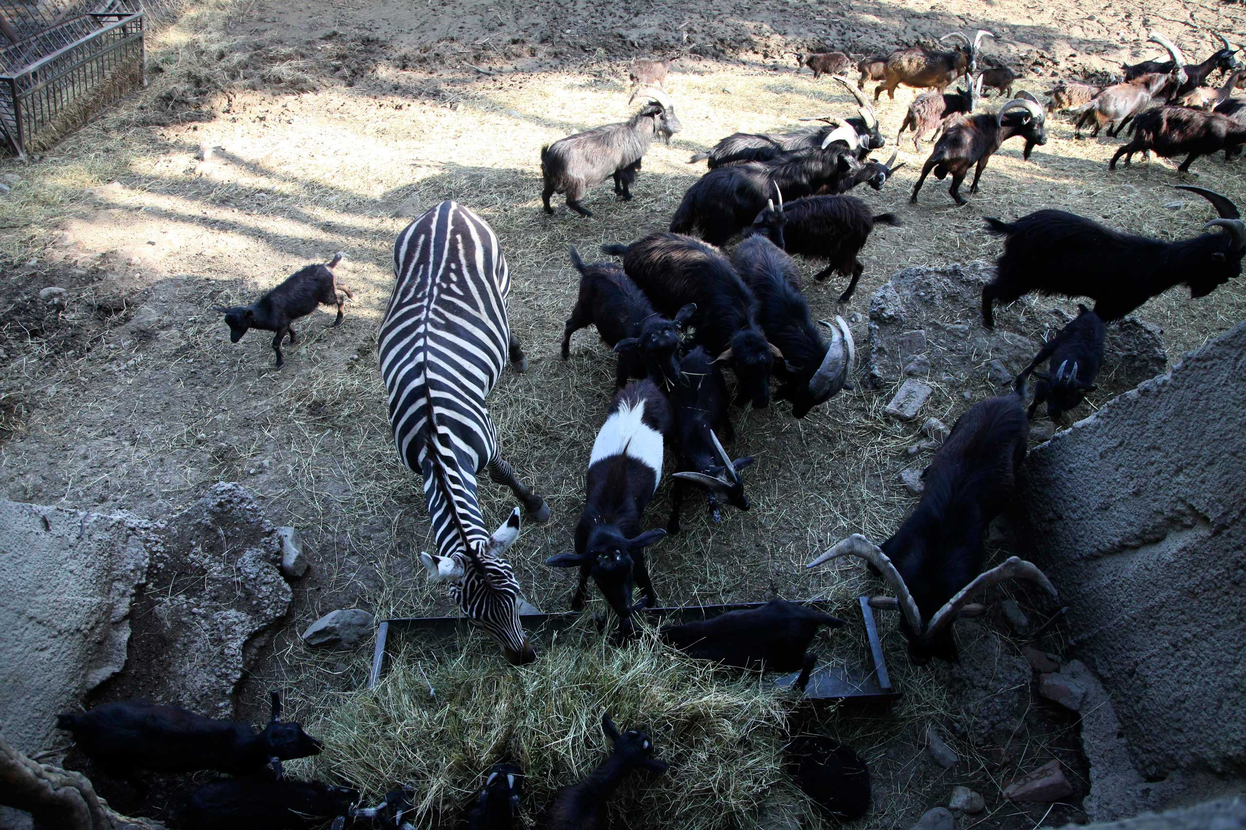 A zebra and other animals escaped from a flooded zoo stand on a hill inside the zoo in Tbilisi, Georgia on June 14, 2015.