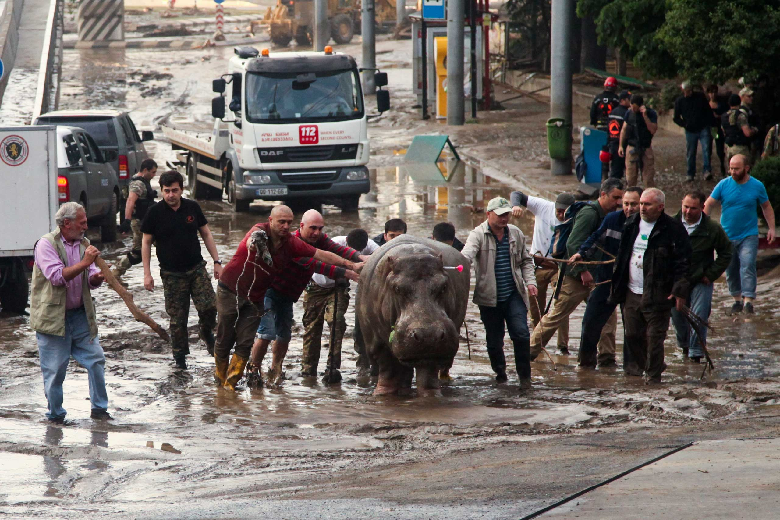 People assist a hippopotamus that has been shot with a tranquilizer dart after it escaped from a flooded zoo in Tbilisi, Georgia on June 14, 2015.