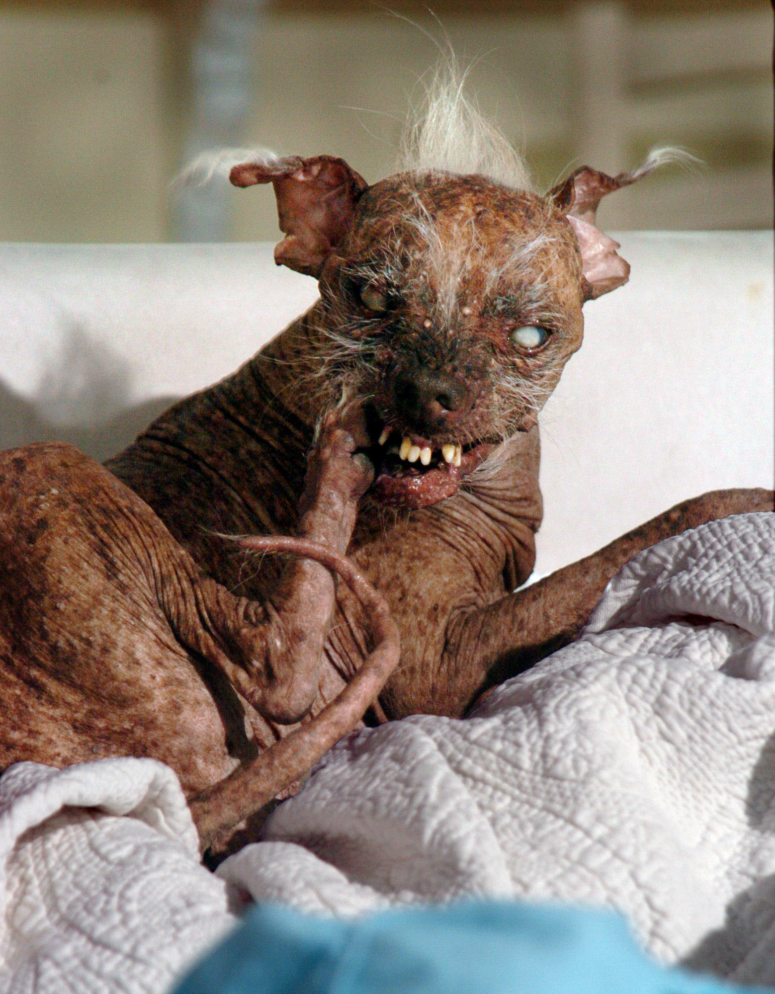 """Sam,"" shown in Santa Barbara on June 28, 2005, and crowned the ""World's Ugliest Dog"" for three years in a row at the Sonoma-Marin Fair."