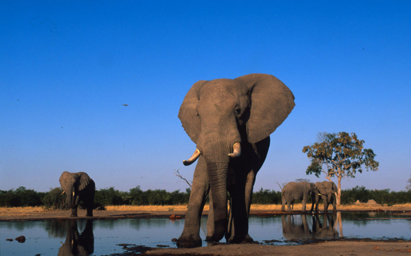 Loxodonta africana African elephant Adult bulls drinking at water hole Sub-Sarahan Africa