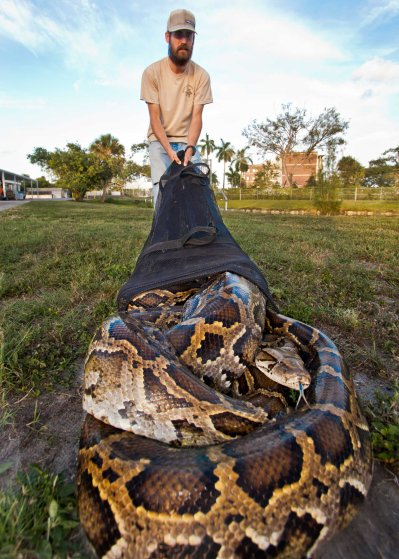 18 foot python captured florida everglades