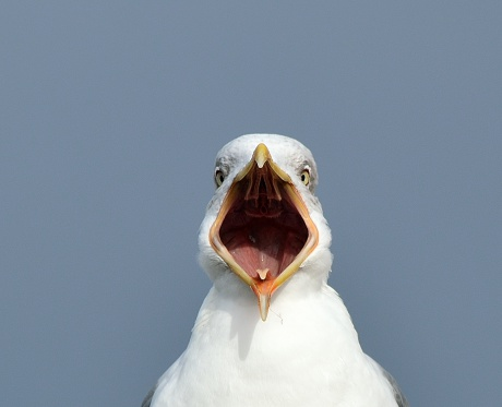 U.K.: Seagulls Are Killing Animals and Experts Fear a Baby May Be ...