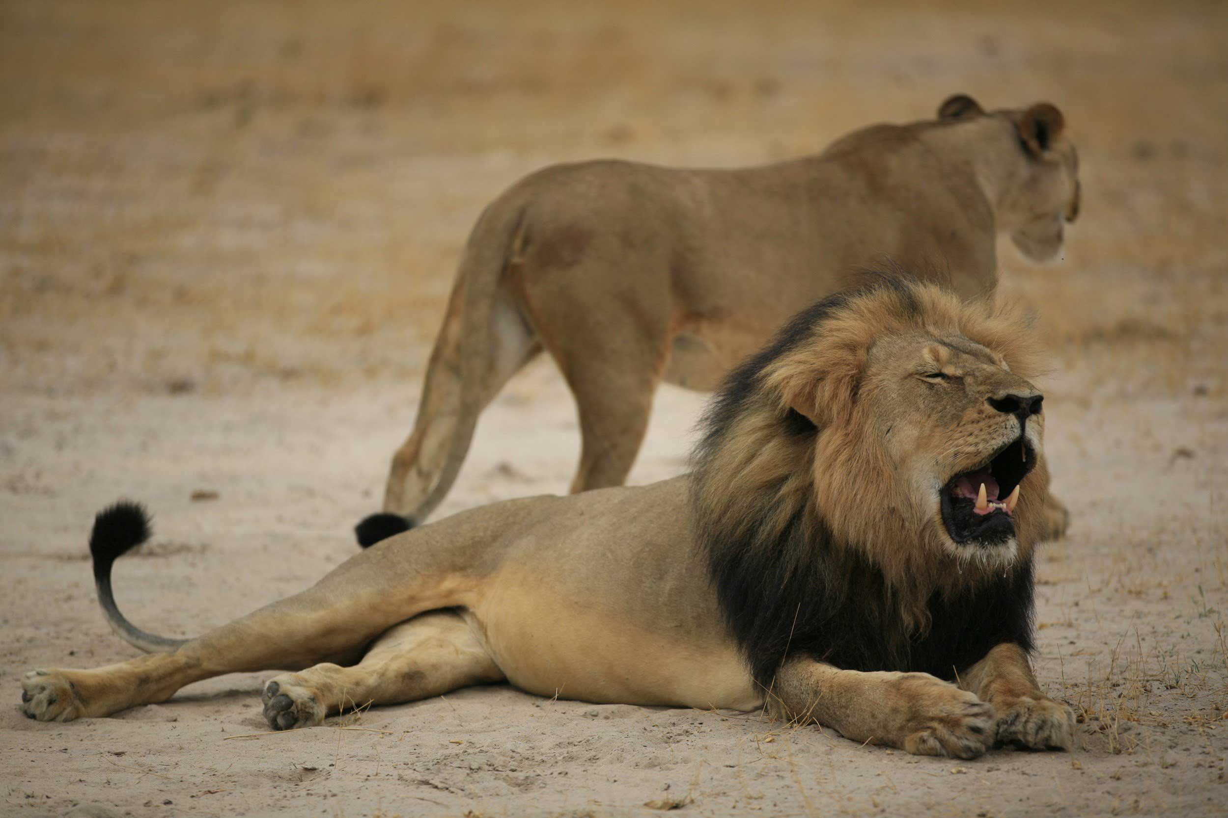 Much loved Zimbabwean lion, Cecil, in Zimbabwe on Oct. 21, 2012