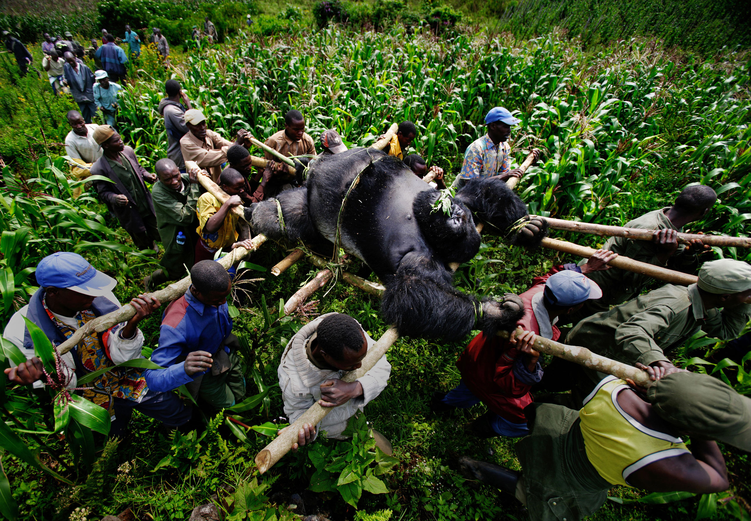 Conservation rangers work with locals to evacuate the bodies of four Mountain gorillas killed in Virunga National Park, Eastern Congo. From the series  A violation of Eden