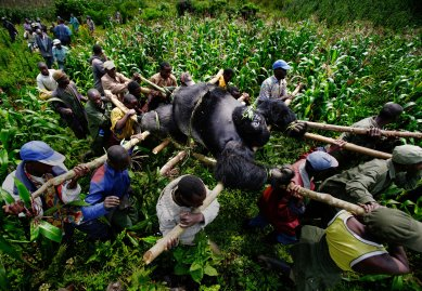 BUKIMA, VIRUNGA NATIONAL PARK, EASTERN CONGO, JULY 2007: Conservation Rangers work with locals to evacuate the bodies of four Mountain Gorrillas killed in Virunga National Park, Eastern Congo. A Silver-Back alpha male, the leader of the group was shot 10 times with AK47 bullets. Four  female mountain gorillas were also killed by AK fire, one of them sadistically burned as she lay wounded. Two of the females had babies and another was pregnant. The two babies were not found and it is thought that they would have fled and died of stress and dehydration. The motivation for the killing was later discovered to be a powerful and illegal charcoal lobby in the nearby city of Goma who killed the gorillas to impose their will on conservation rangers seeking to protect the gorilla habitat. This habit has the best hardwood trees for charcoal production, a 40 million dollar per annum industry in this region. The local illegal charcoal industry clashes with conservation efforts in this very poor area and Rangers have been threatened, tortured and killed as a result of this clash of political and economic wills. Over 150 Rangers have been killed in their efforts to protect the Gorillas of Virunga, one of the world's most endangered species with just over 800 mountain gorillas remaining in the world. The DRC has the highest toll of human casualties of any country since the second world war, a figure in the region of 5.4 million dead as a result of war and resultant displacement, disease, starvation and ongoing militia violence.