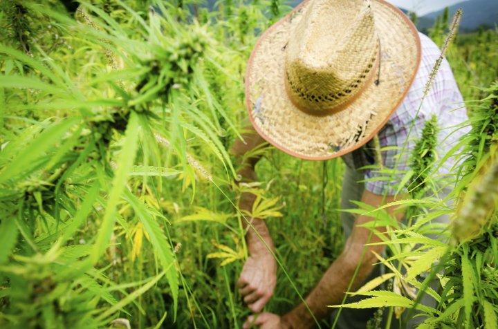 farmer-harvesting-marijuana
