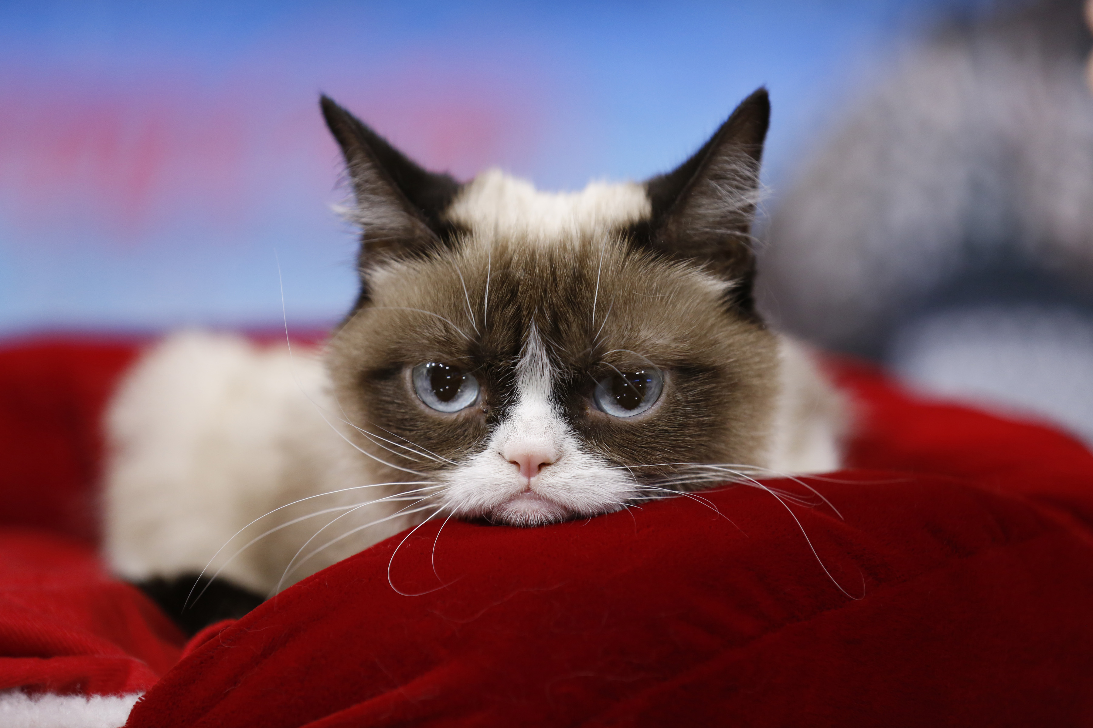 Grumpy Cat appears on NBC News'  Today  show.