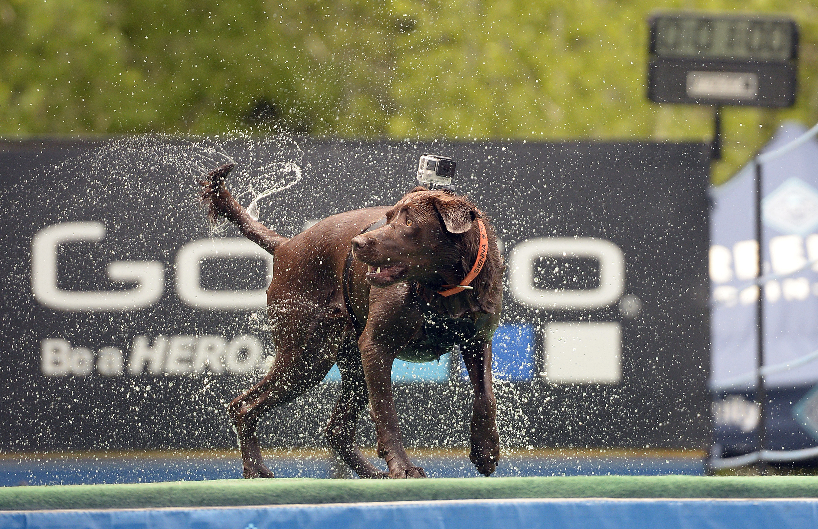 Chocolate lab 'Sienna' wears a GoPro camera at the GoPro Mountain Games in Colorado.