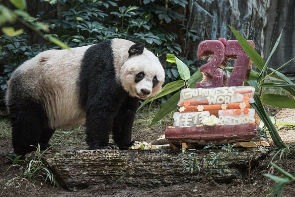 Giant panda Jia Jia stands next to her cake made of ice and fruit juice to mark her 37th birthday at an amusement park in Hong Kong on July 28, 2015.  It may not be considered a landmark birthday for humans but turning 37 made Jia Jia the oldest ever giant panda in captivity ageing the equivalent of more than 100-years-old in human terms.