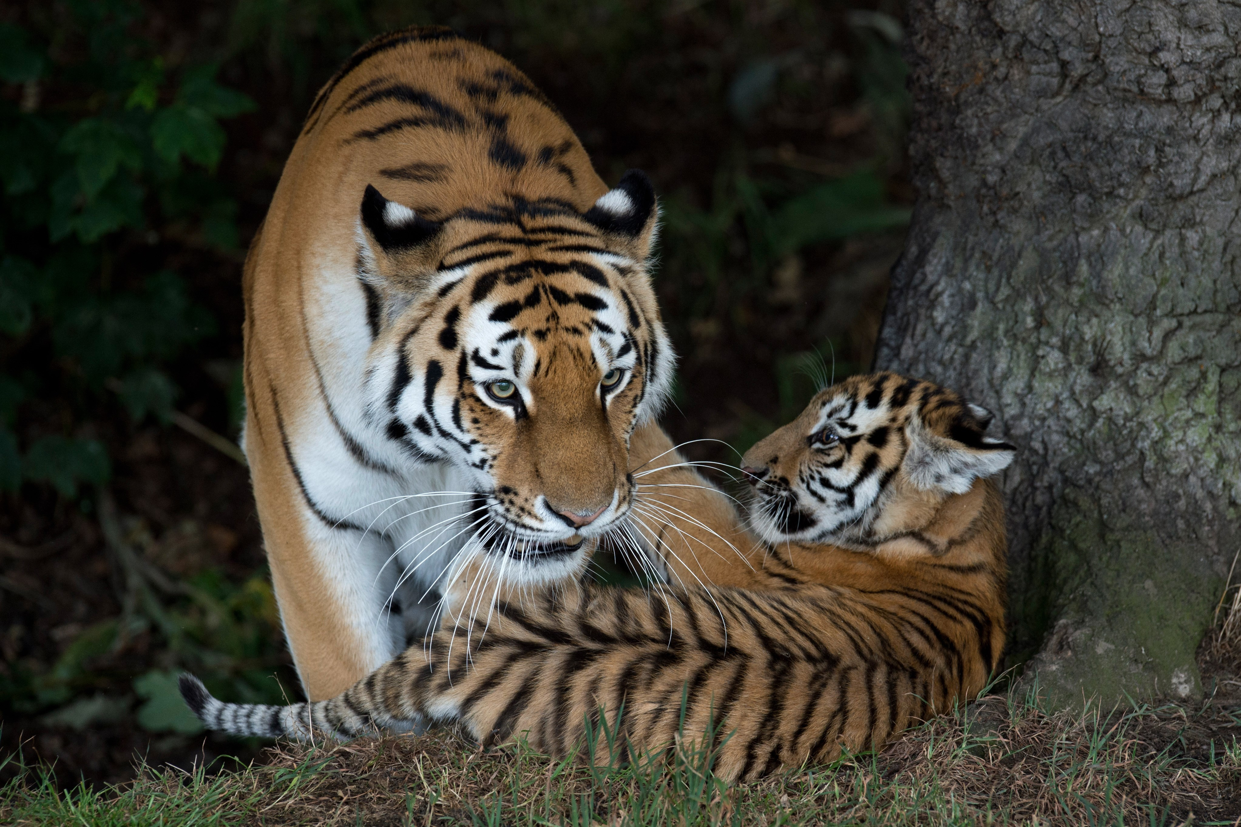 A rare Amur Tiger cub, aged four months, plays with its mother Tschuna as it experiences its reserve for the first time at the Yorkshire Wildlife Park near Doncaster, northern England on July 29, 2015.