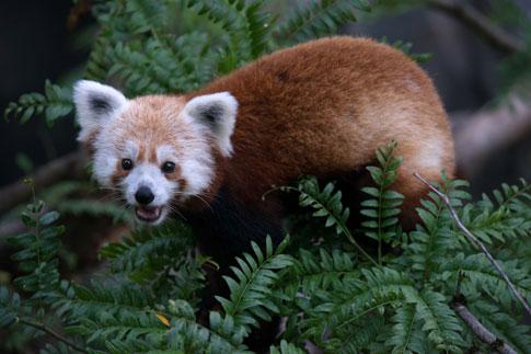 Missing Red Panda