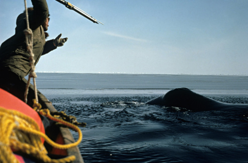 An Eskimo harpoons a whale in the Bering Sea off Alaskan shores.