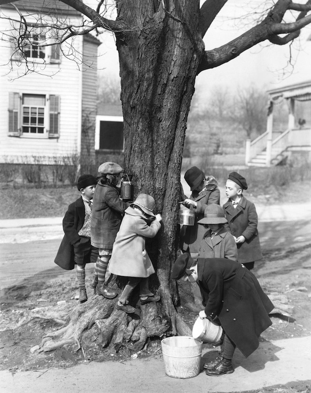 Children Tapping Maple Trees