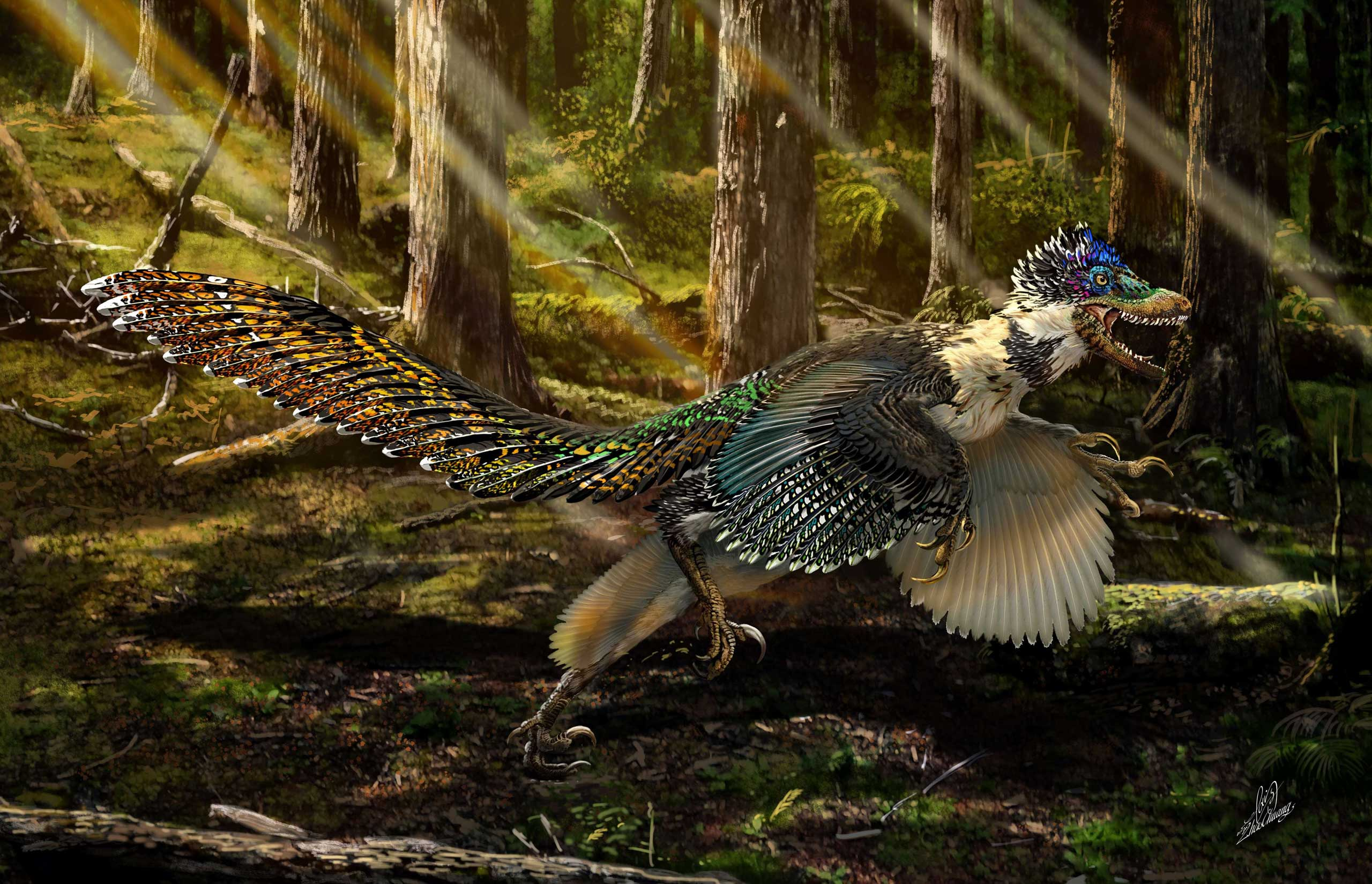An artist's reconstructed impression of the new short-armed and winged feathered dinosaur Zhenyuanlong suni from the Early Cretaceous (ca. 125 million years ago) of China.