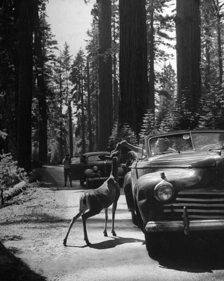 Tourists feeding deer in redwood forest, 1945.