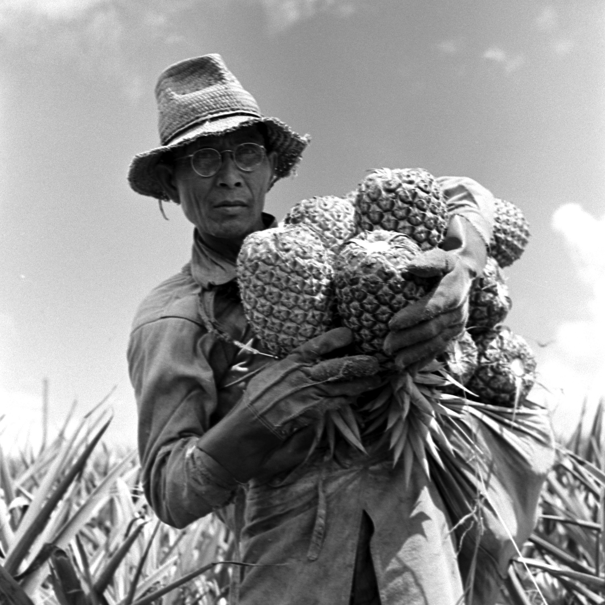A worker on the Dole plantation carries an armload of pineapples.