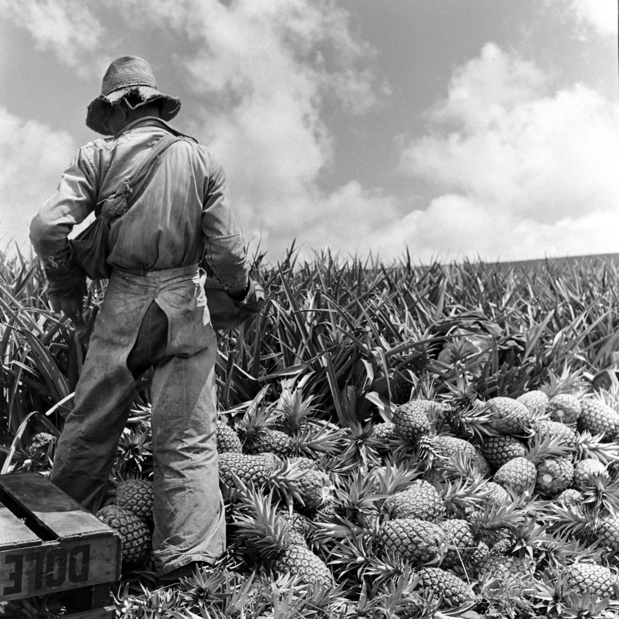 A worker on the Dole plantation gathers ripe pineapples.