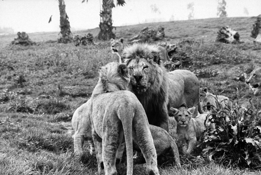 Frasier the lion 1972