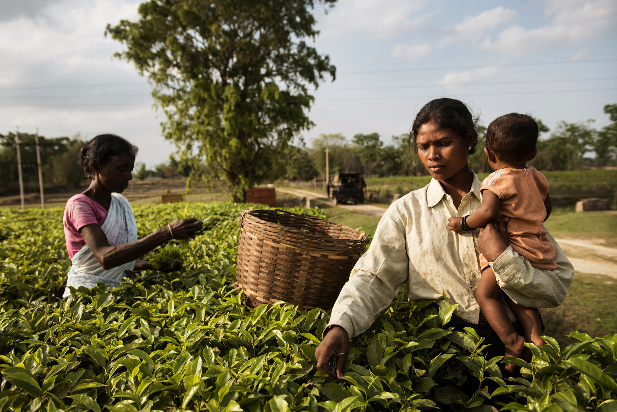 Babita Hemrom picks tealeaves while holding her child alongside other Indian women on a tea plantation, in the Tinkharia garden in Assam, India. April 8, 2015. Over years, women working on the plantations have been subjected to long hours with little accommodation of their basic needs for food, hygiene, latrines, and lesser workload for pregnant and lactating women.
