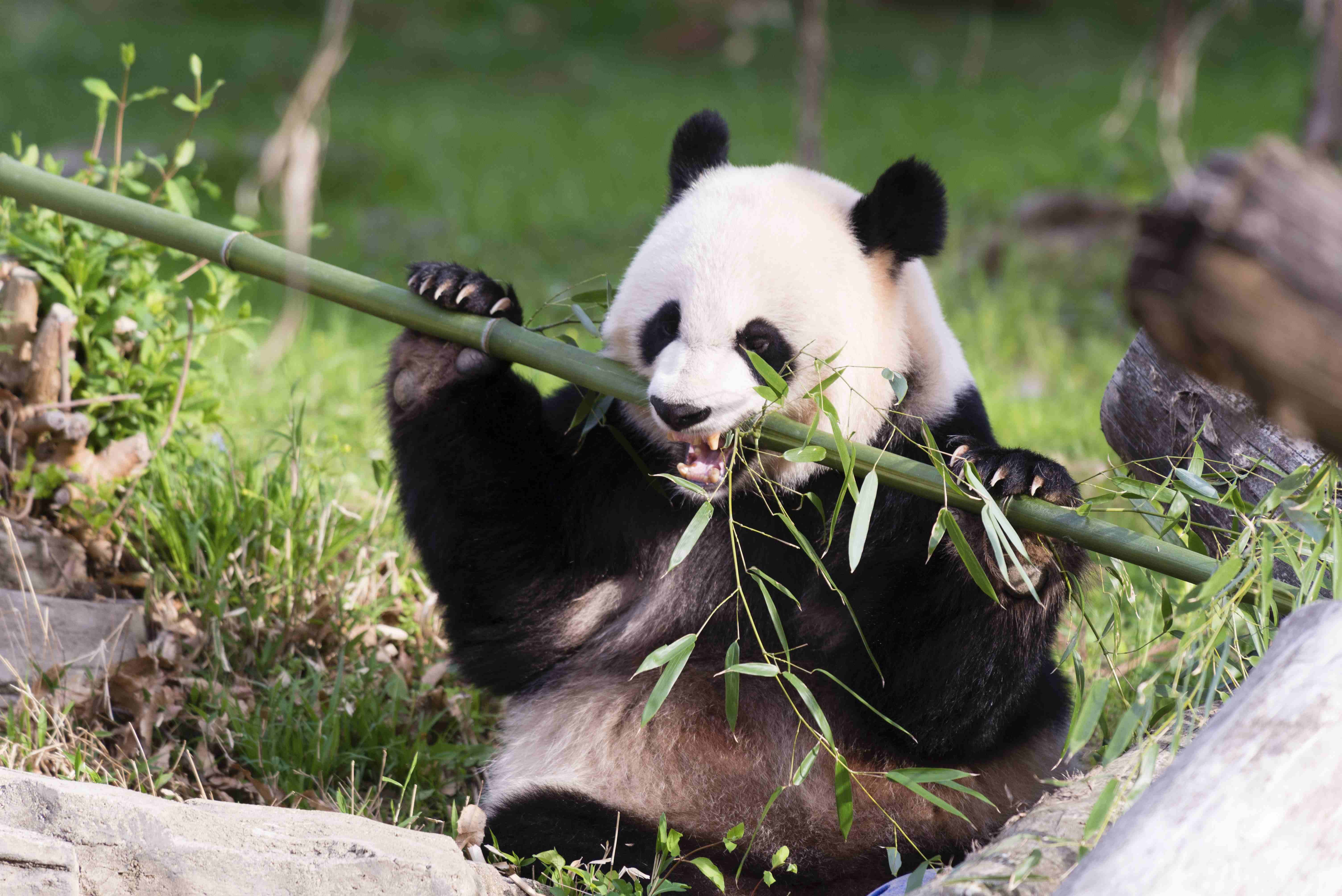 Giant Panda Mei Xiang snacks on bamboo at the Snithsonian's National Zoo in Washington on April 19, 2015.
