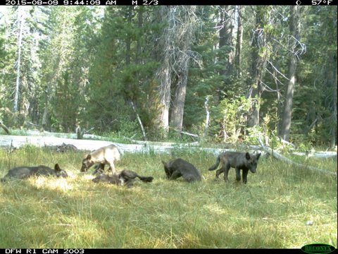 A wolf pack is shown captured near Mt. Shasta in Siskiyou County, Calif. on Aug. 9, 2015.