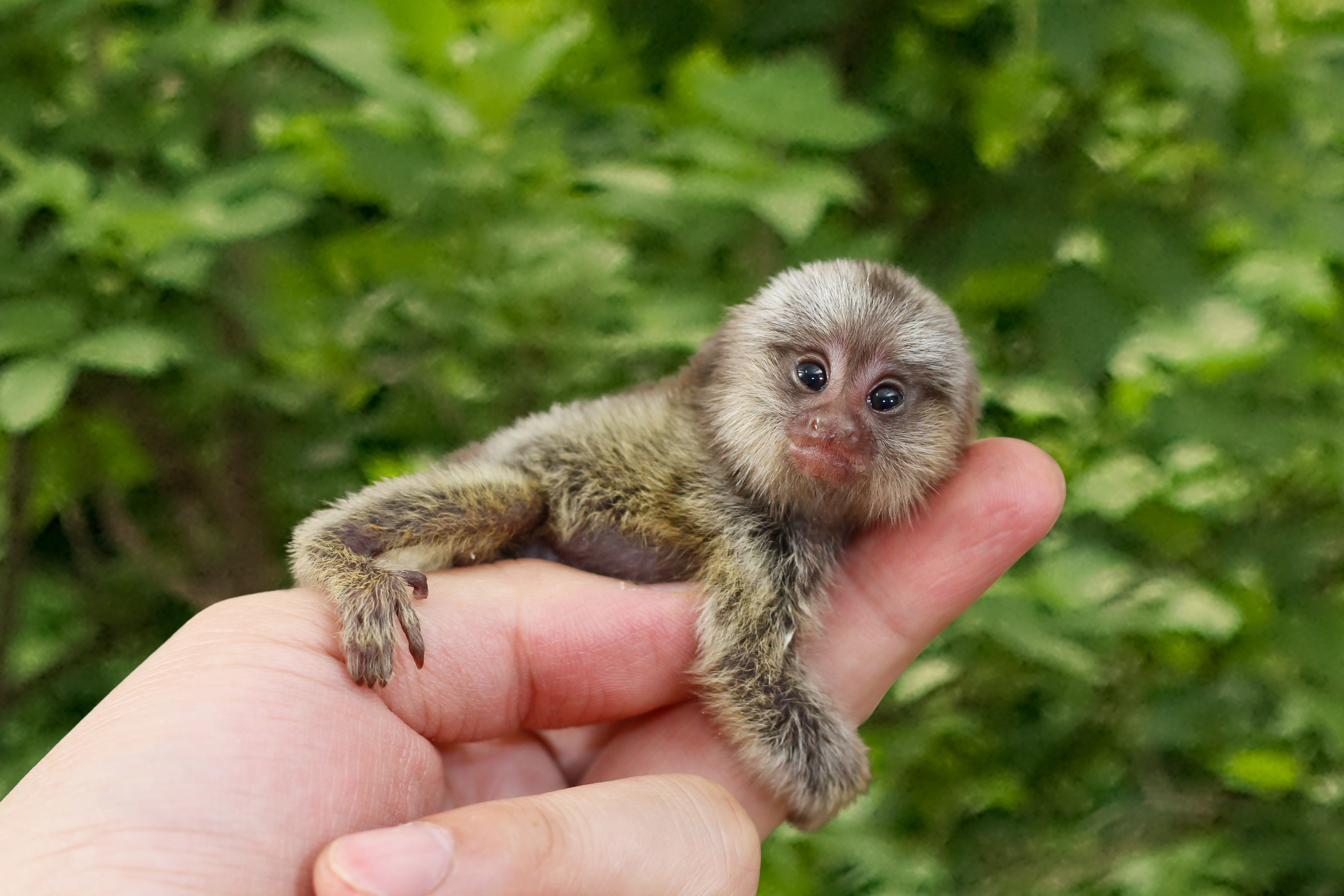 pygmy-marmoset