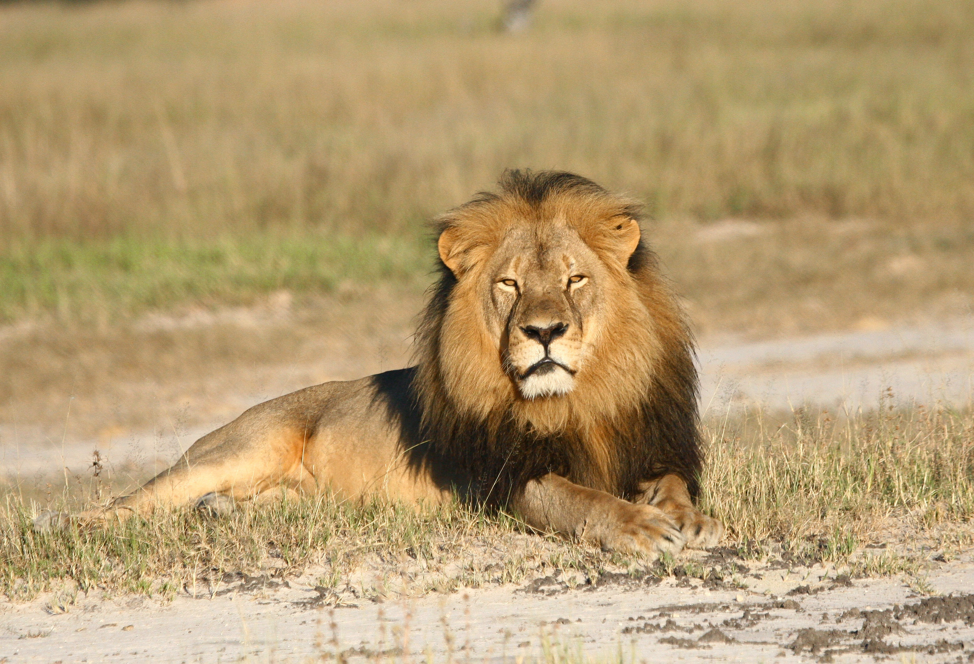 Cecil the lion rests in Hwange National Park in Hwange, Zimbabwe