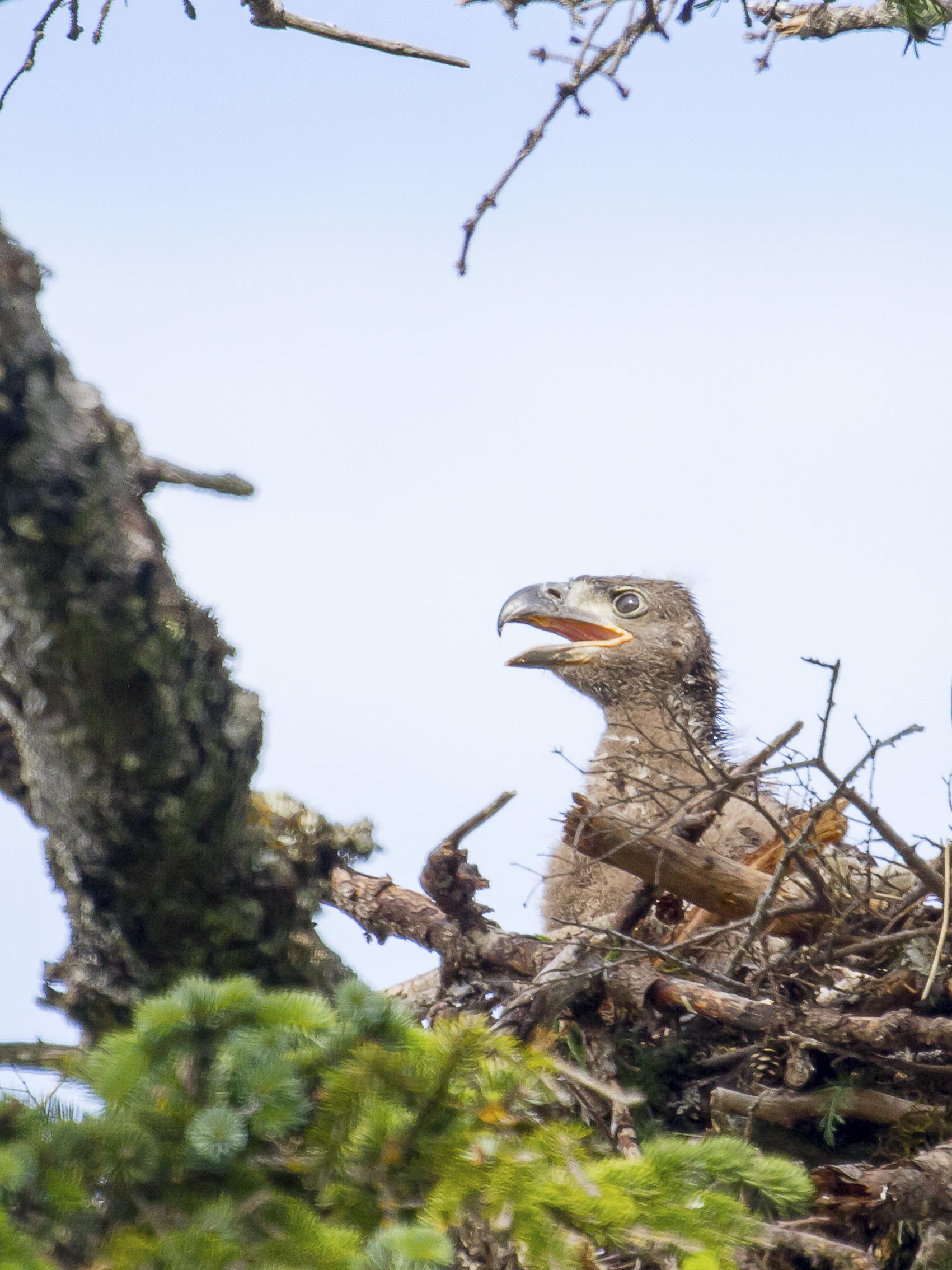 bald-eagle-chick