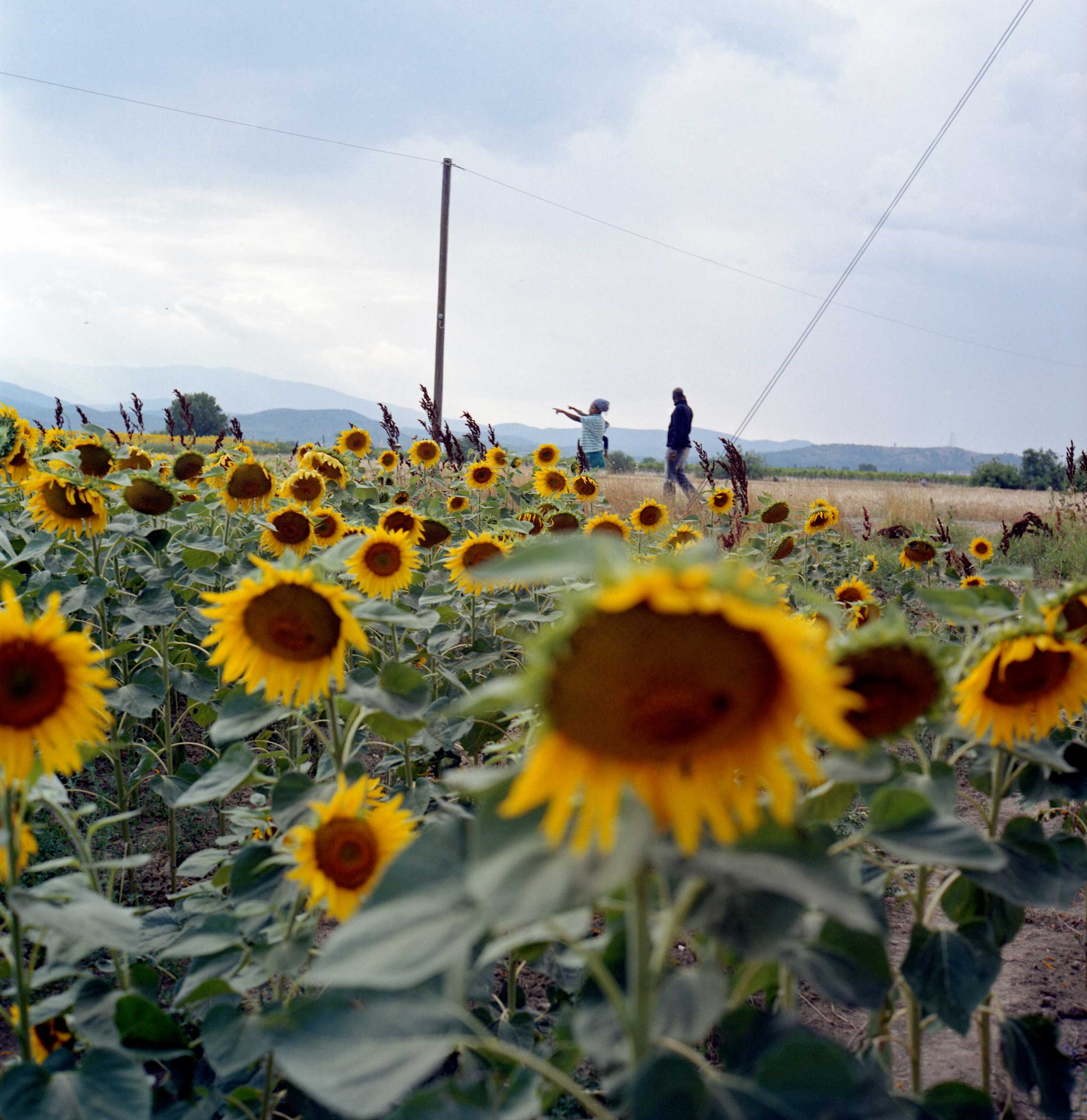 Migrant family from South Sudan walking in the sunflower field in Idomeni, a crossing point between Greece and Macedonia where roughly around 400 migrants per day wait at the border for a chance to cross. Greece, June 2015.