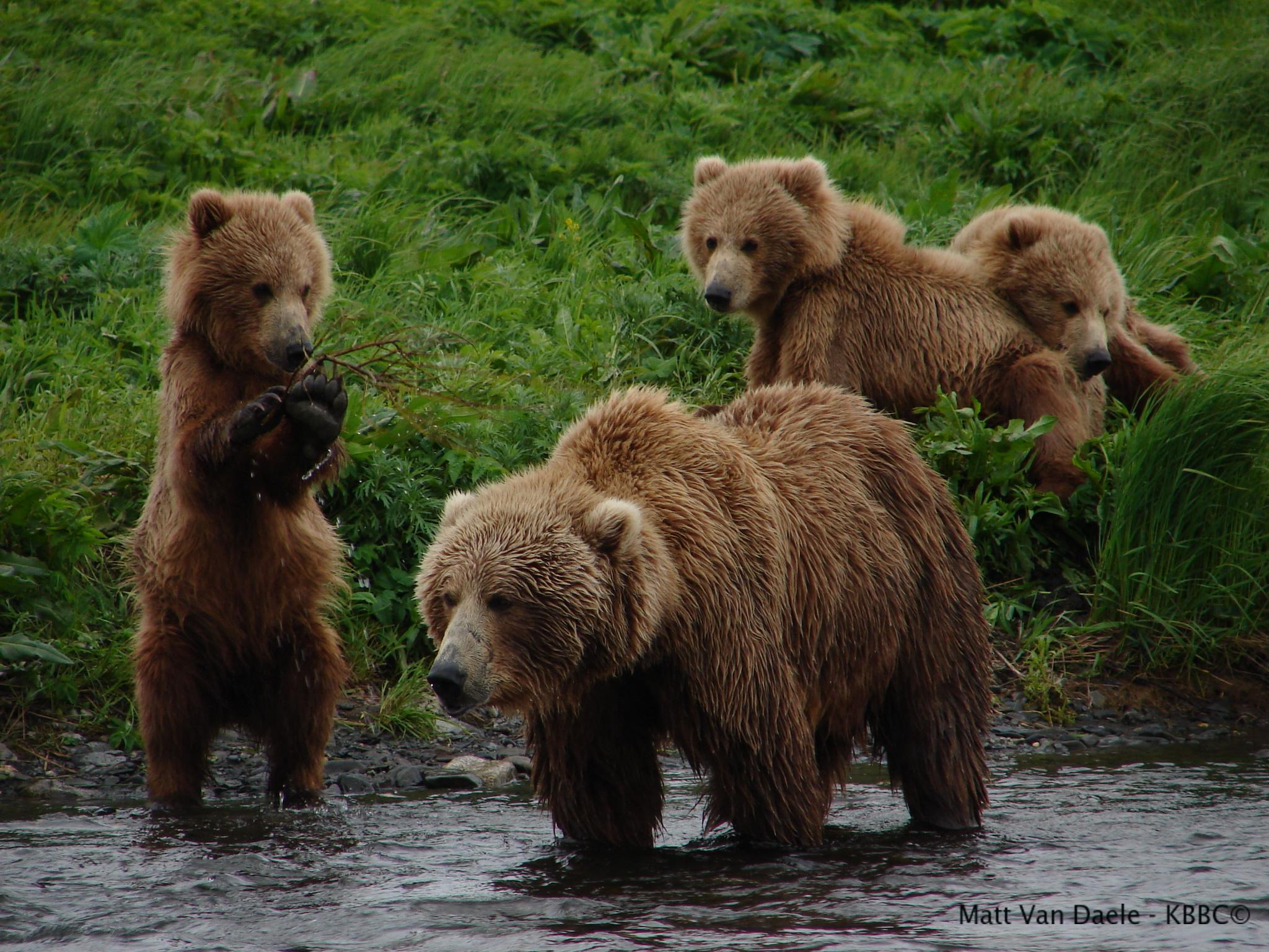 brown-bear-cubs