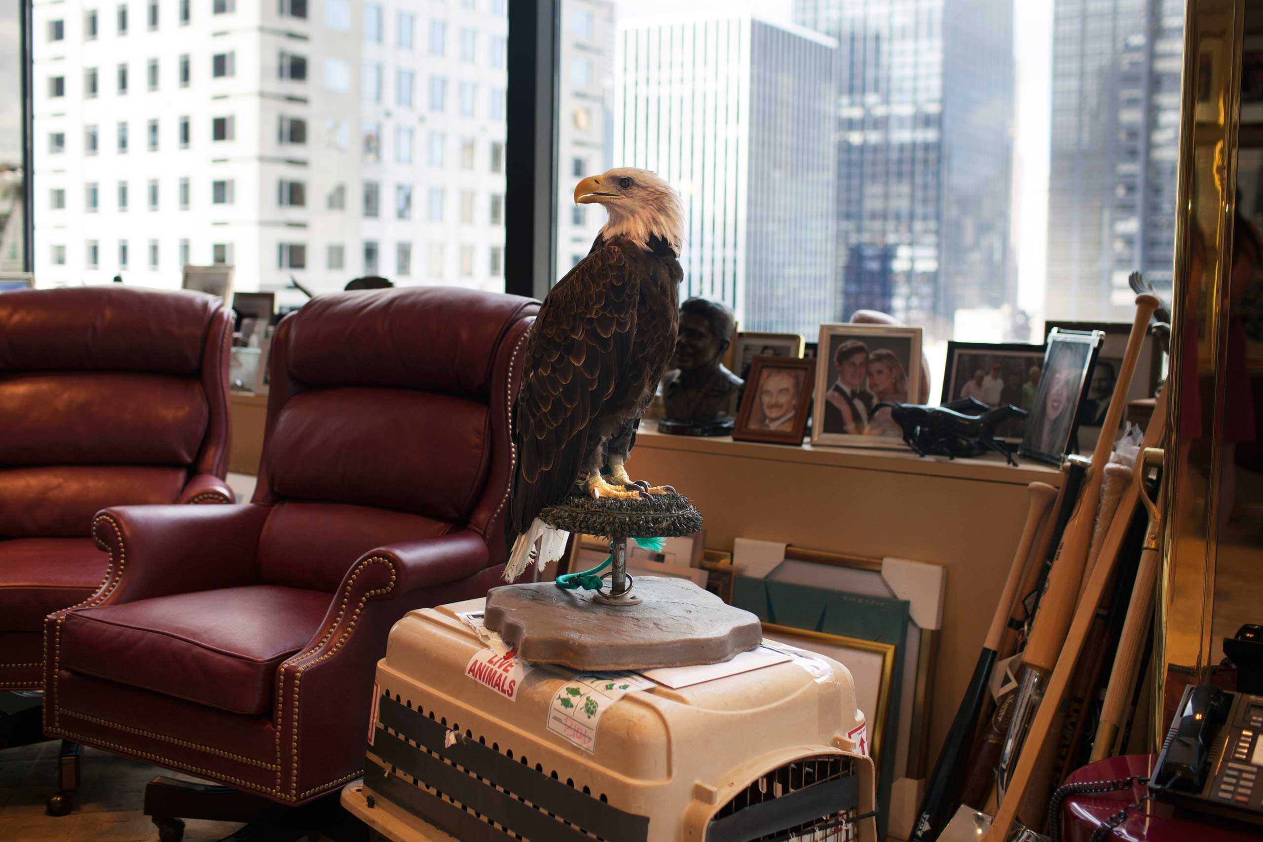 Uncle Sam, an American bald eagle, waits in Donald Trump's office in New York City.