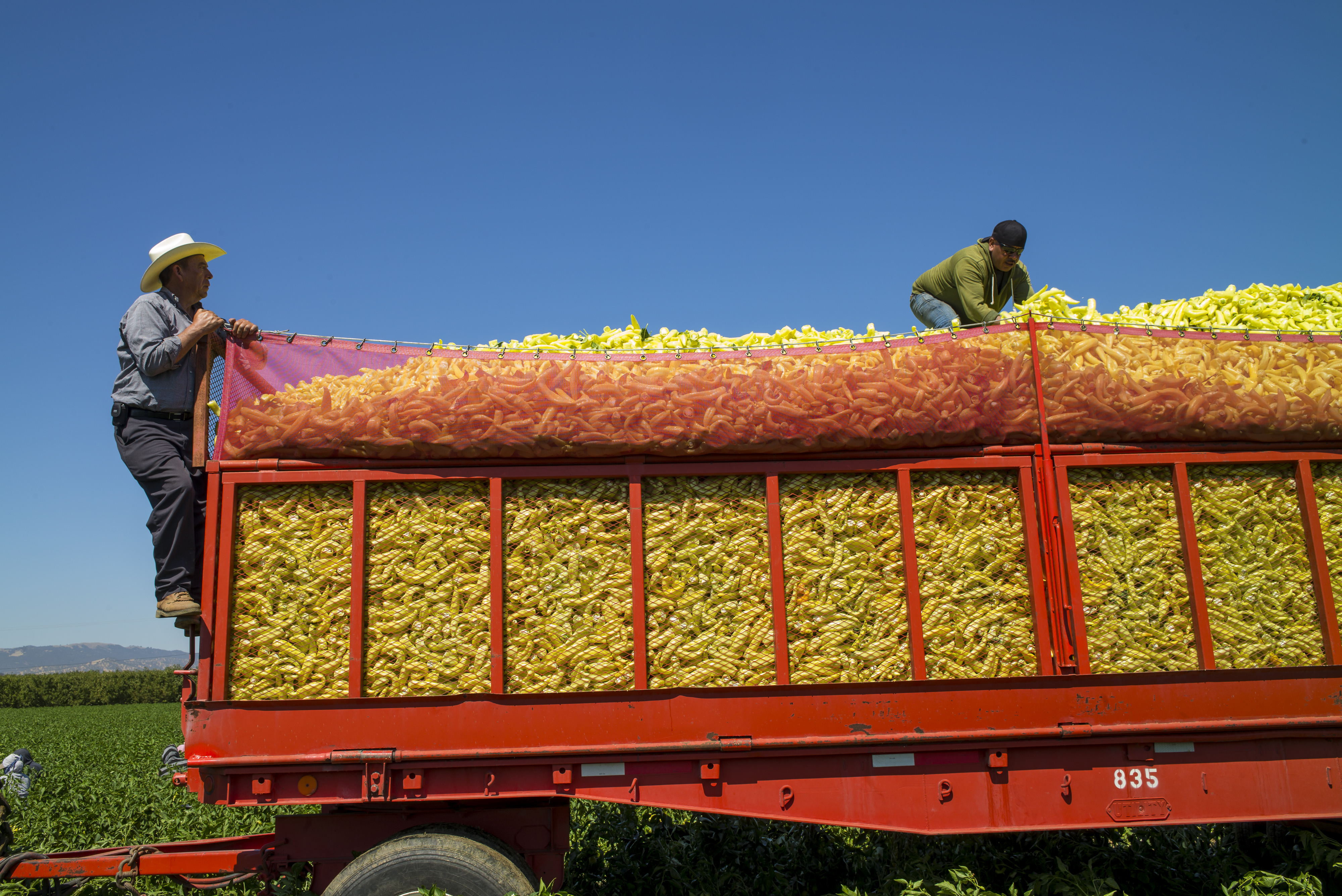 Workers arrange peppers as they harvested peppers on to a truck at the Uesugi Farm in Byron, California, U.S., on Thursday, July 16, 2015.