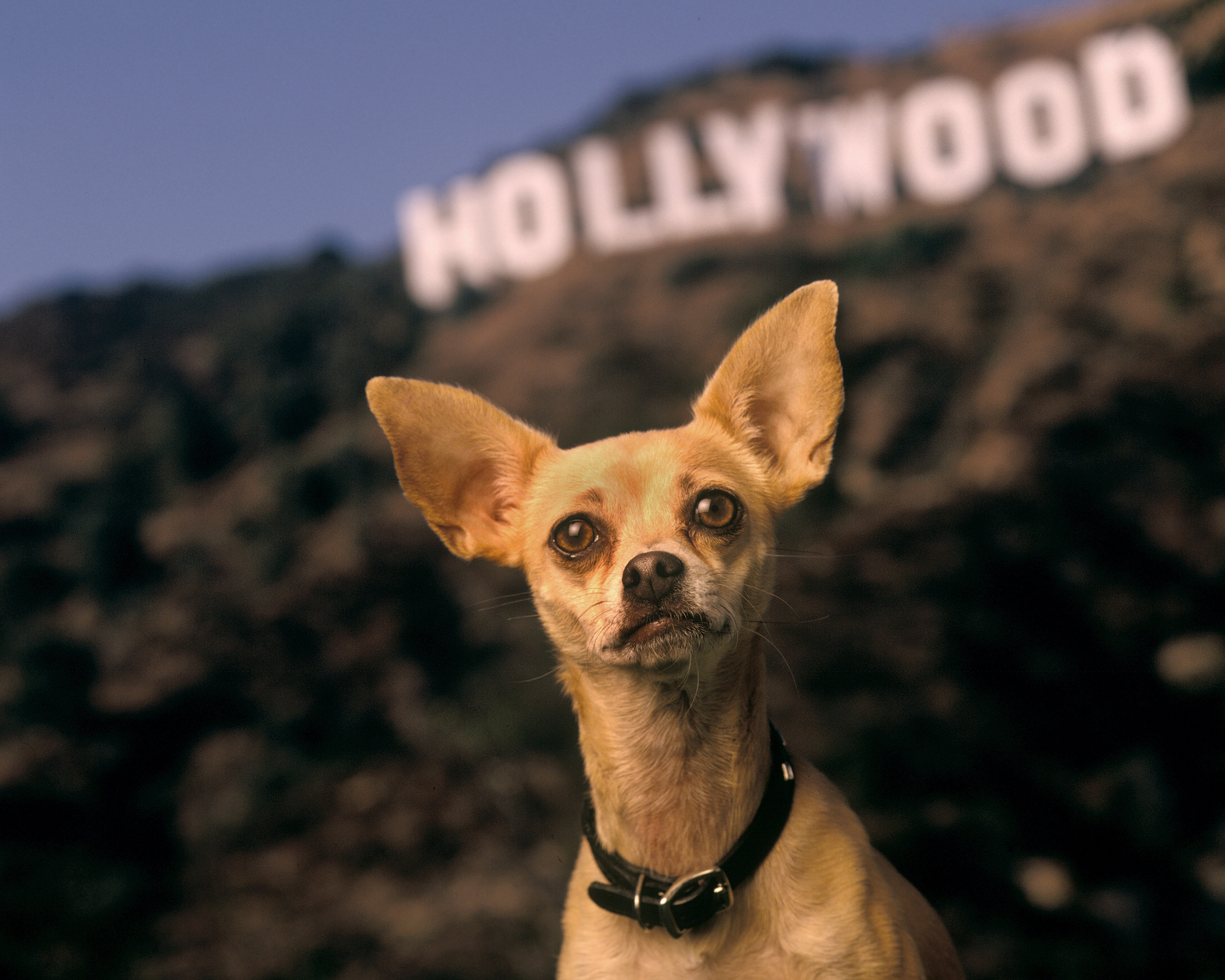 Gidget the Taco Bell dog.