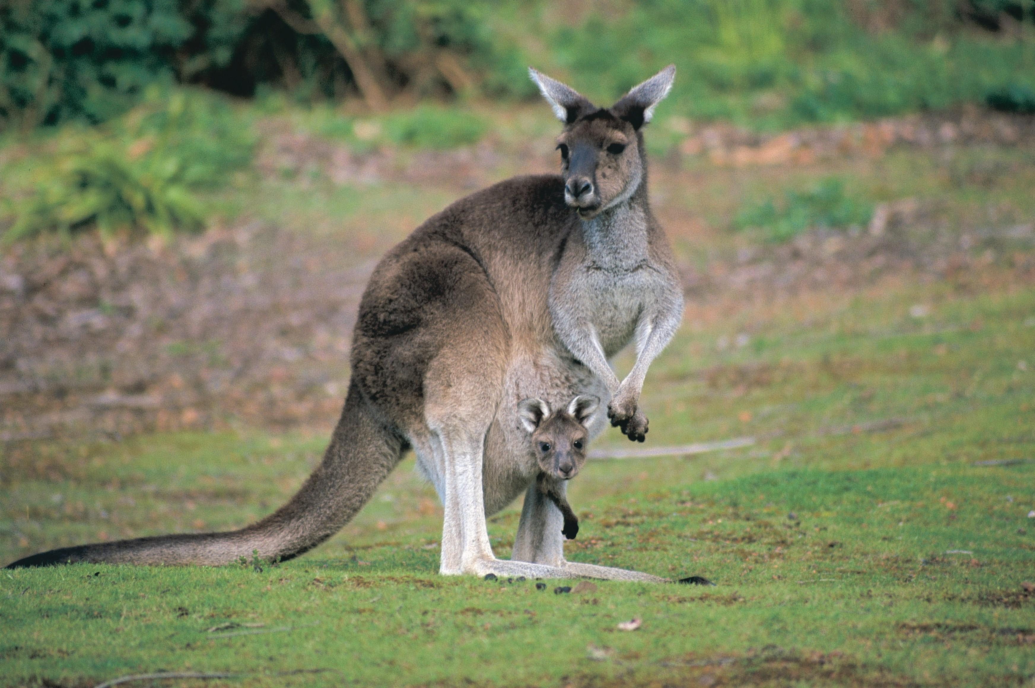 joey-kangaroo