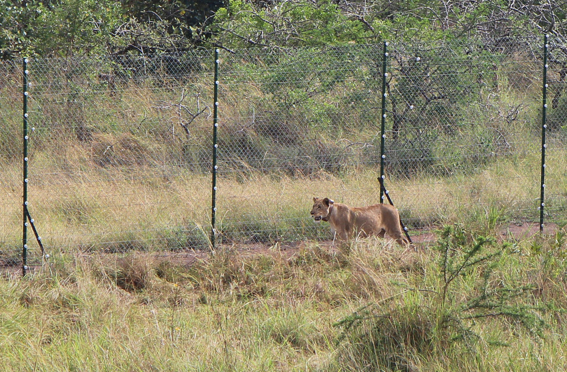 A lion brought from South Africa walks in Akagera National Park in the east of Rwanda on July 1, 2015, after being reintroduced.
