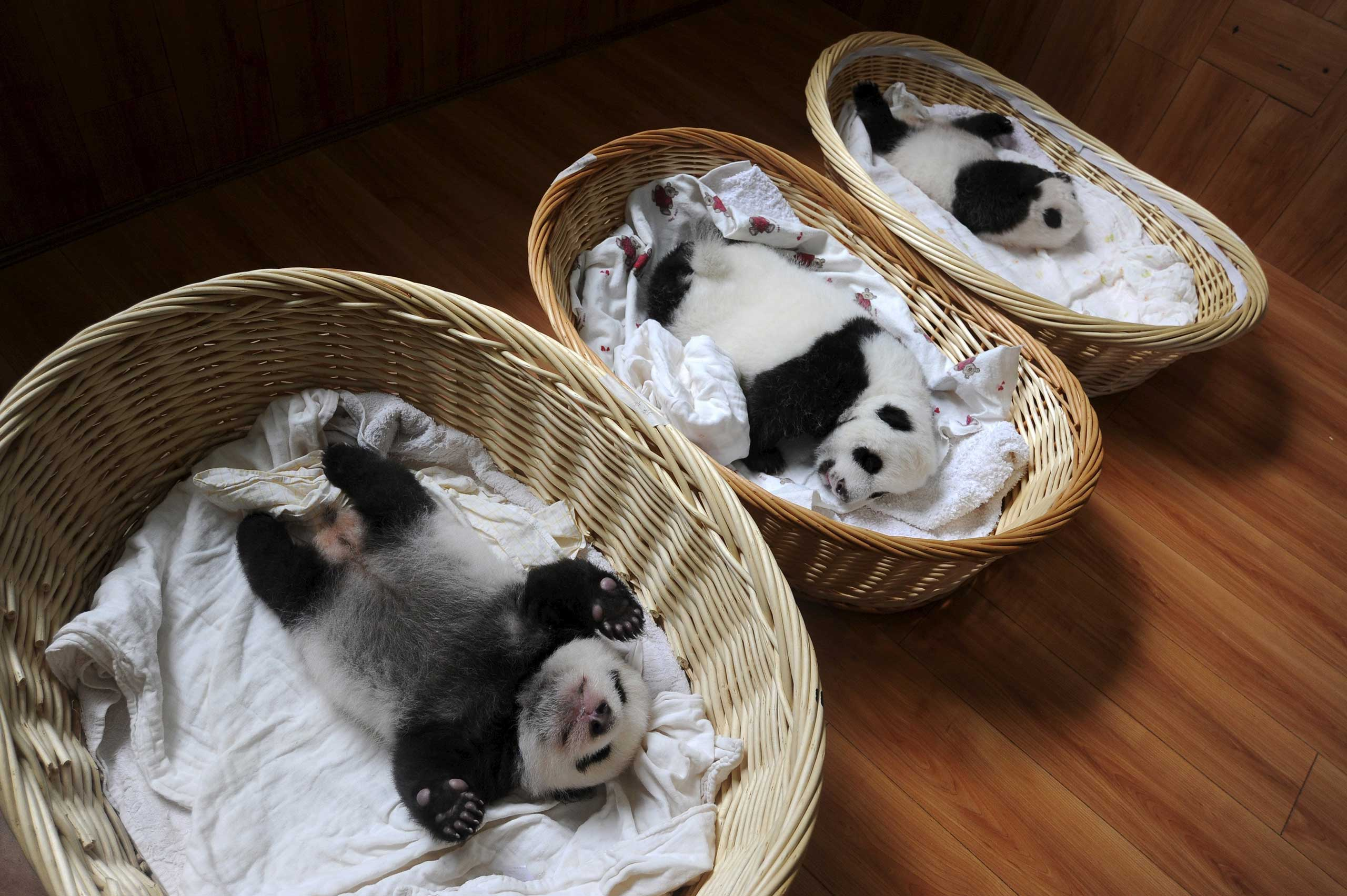 Giant panda cubs are seen inside baskets during their debut appearance to visitors at a giant panda breeding centre in Ya'an, Sichuan province, China, on Aug. 21, 2015.