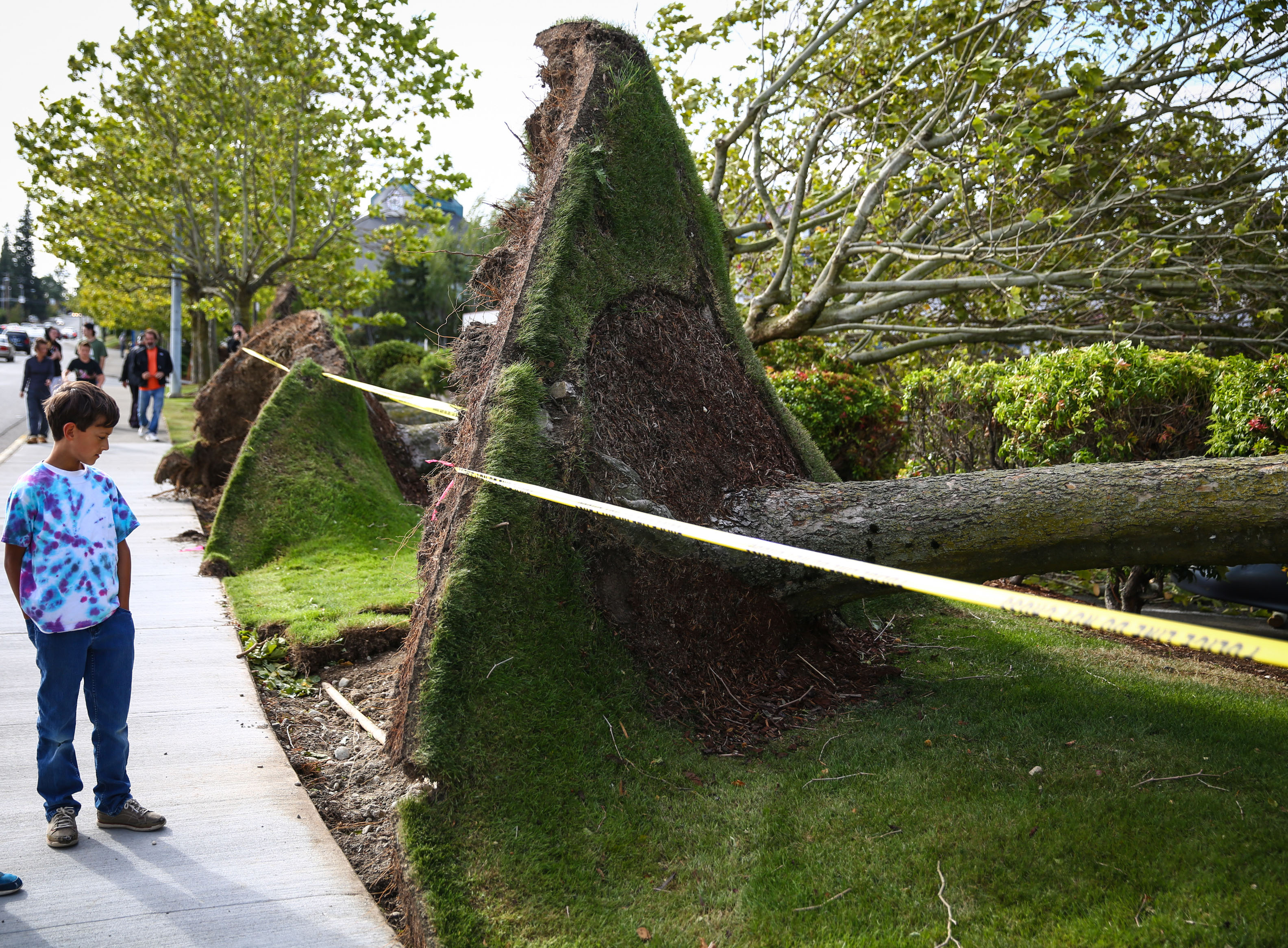 People look at a row of downed trees after they were knocked down during a windstorm on Aug. 29, 2015, in Lynnwood, Wash.