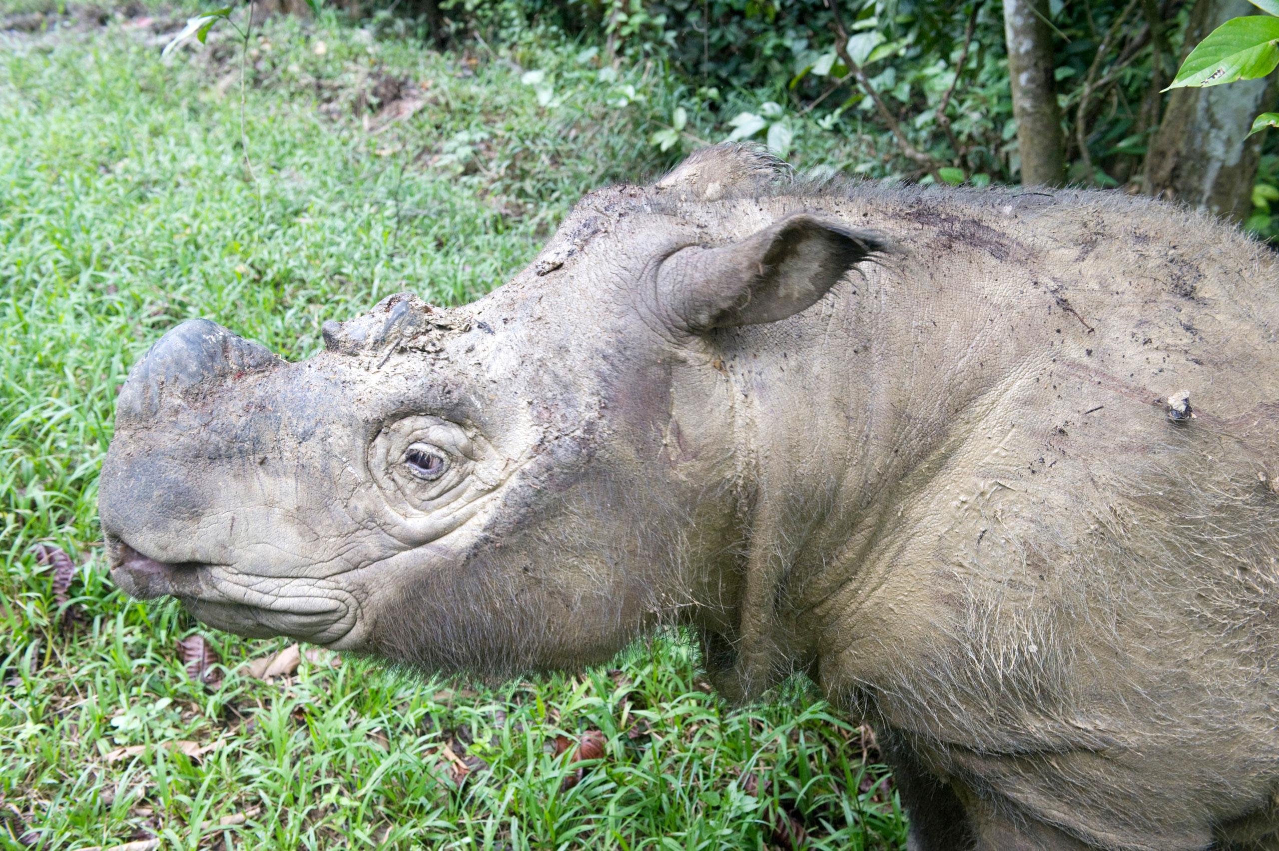 A male Sumatran rhino (Borneo rhino) pictured in Malaysia, in a file photo dating Feb. 2012.