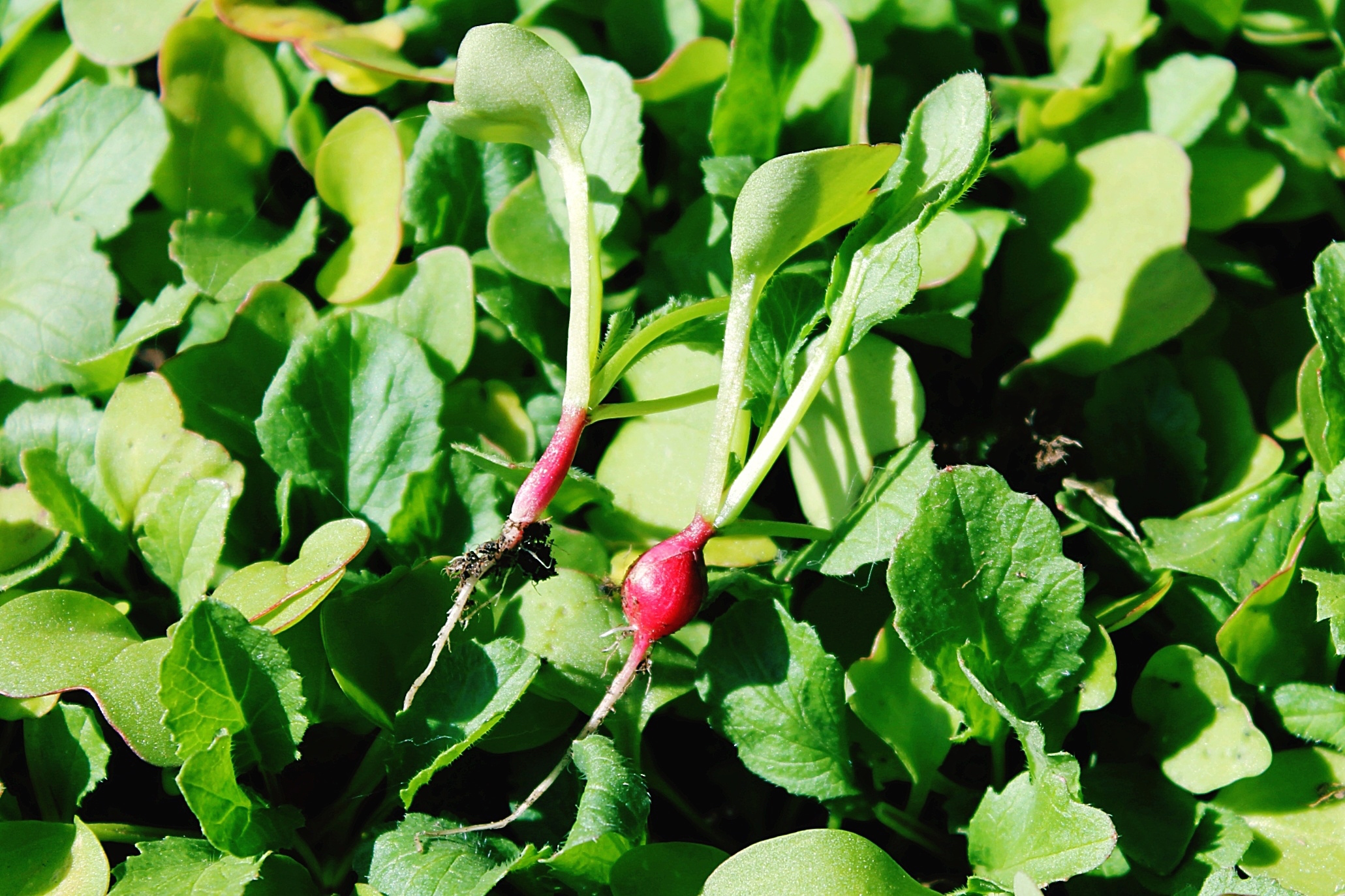 These greens are extremely easy to grow in the fall, when nights become longer and cooler turnip greens get crisper and sweeter, says Casanova.